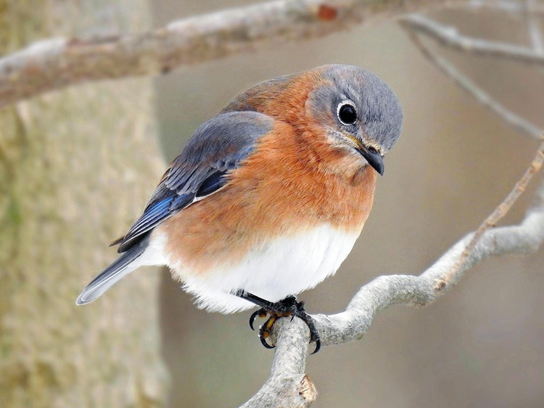 Eastern Bluebird - Joseph Boros