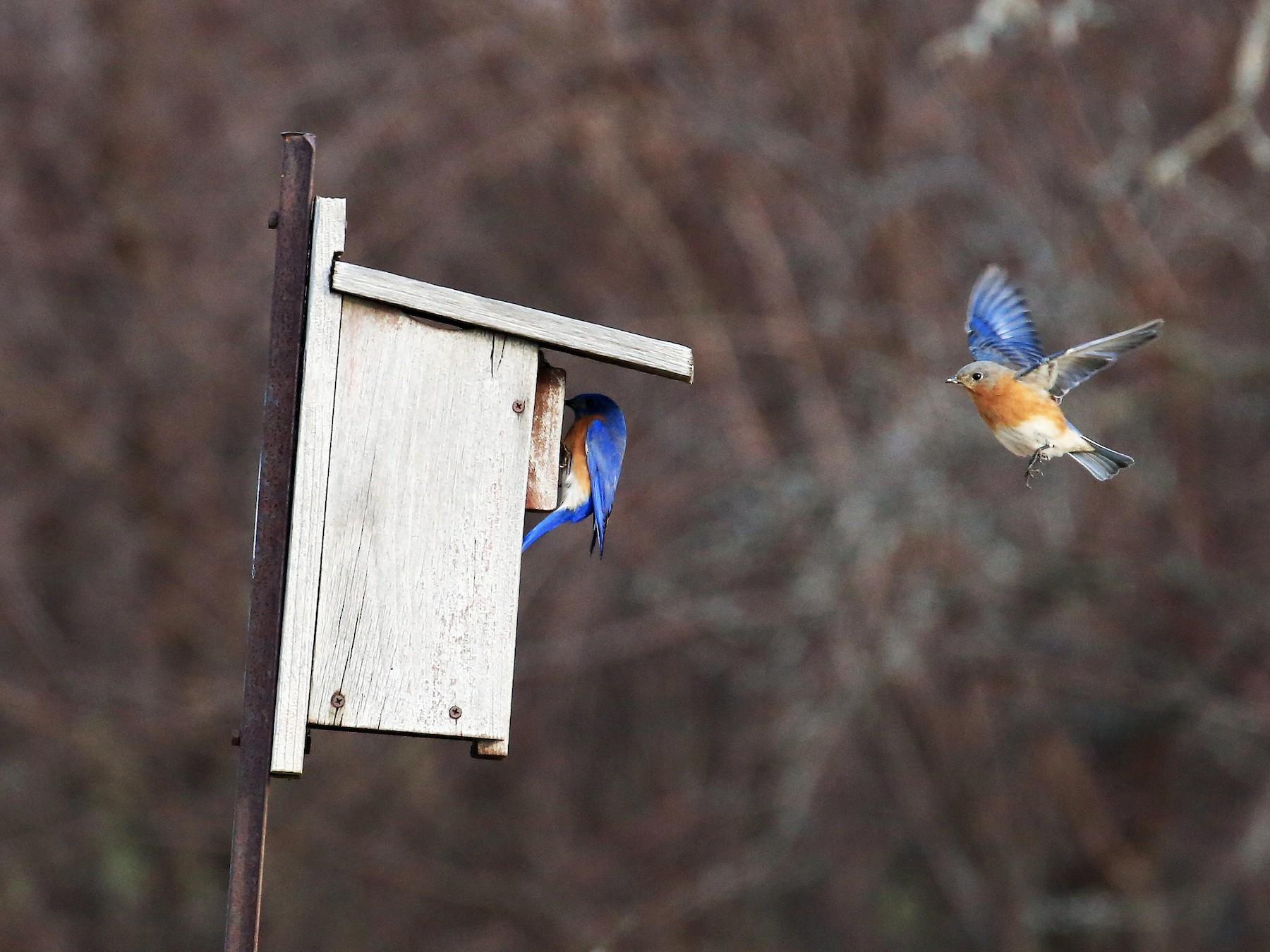 Eastern Bluebird - Tim Lenz