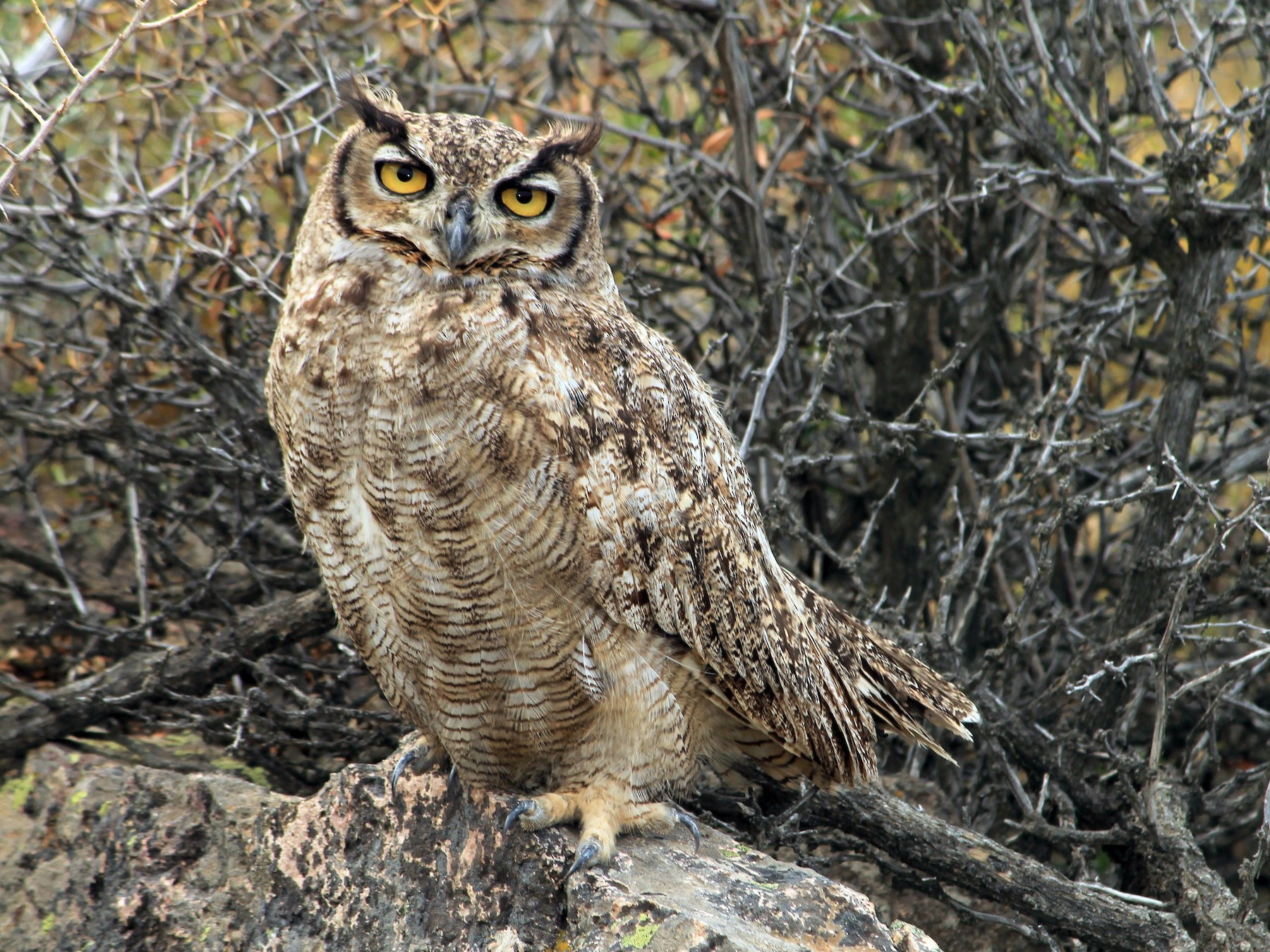 Great Horned Owl - Gustavo Vargas