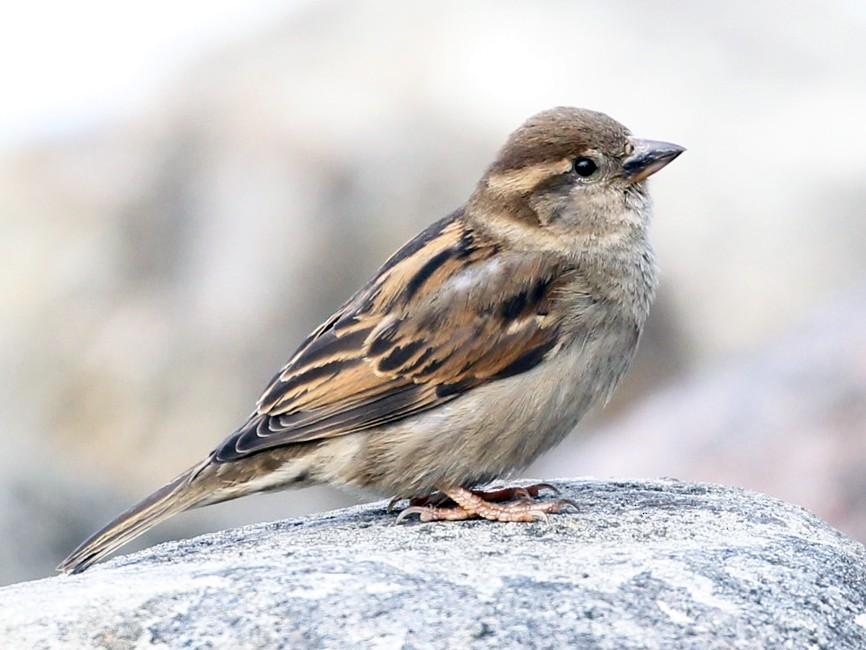 House Sparrow - Douglas Faulder