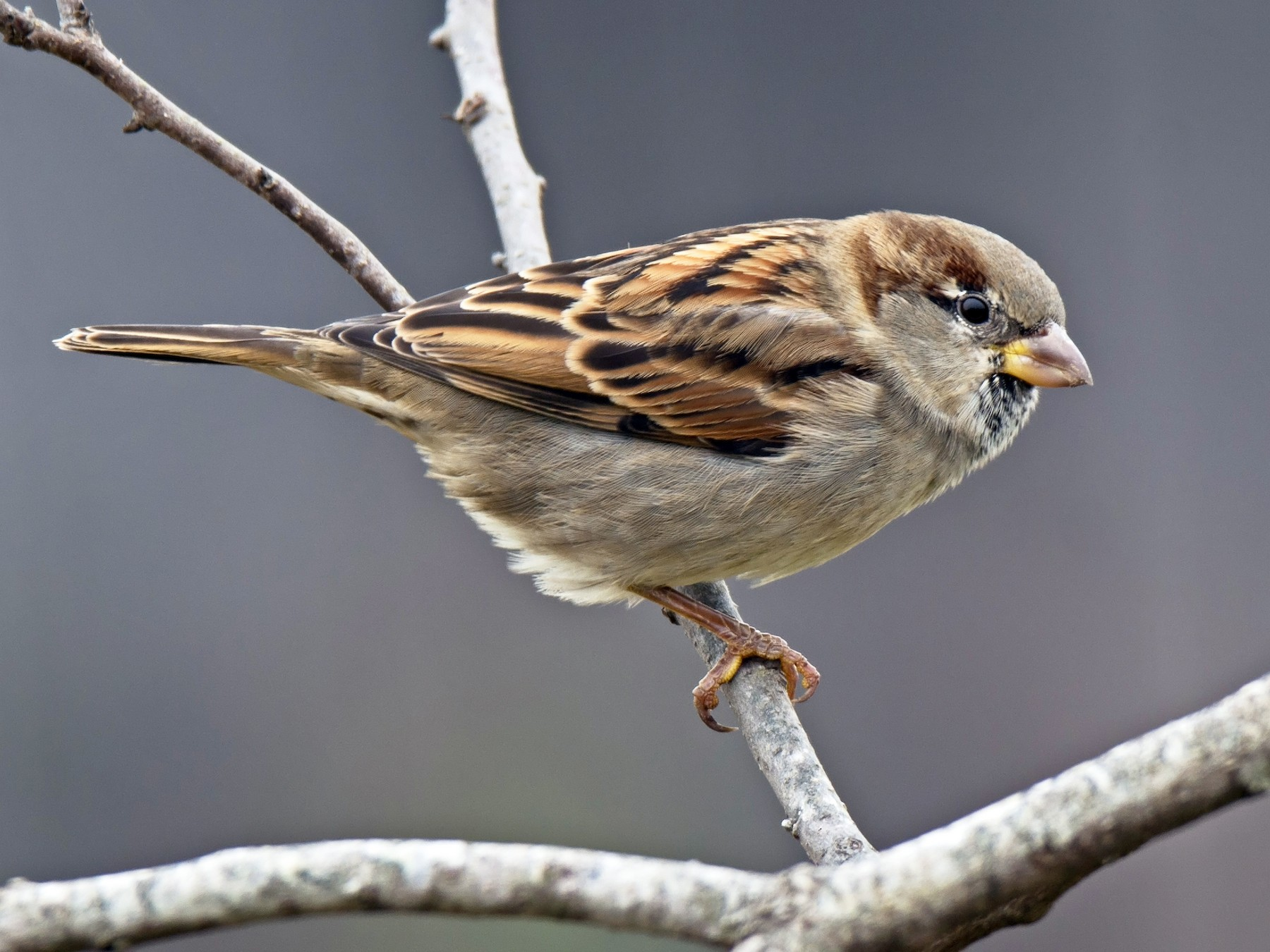 House Sparrow - Jack and Shirley Foreman