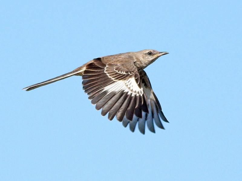 Northern Mockingbird - Jeremiah Trimble