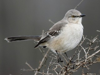 - Northern Mockingbird