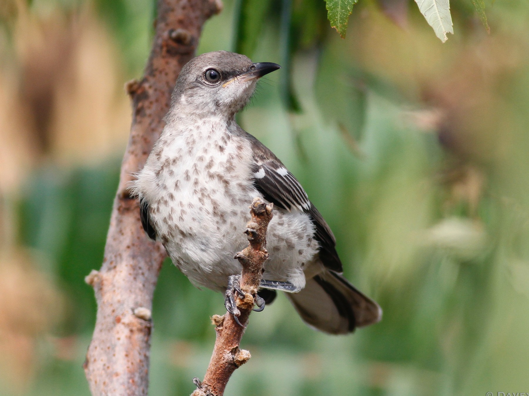 Northern Mockingbird - Davey Walters