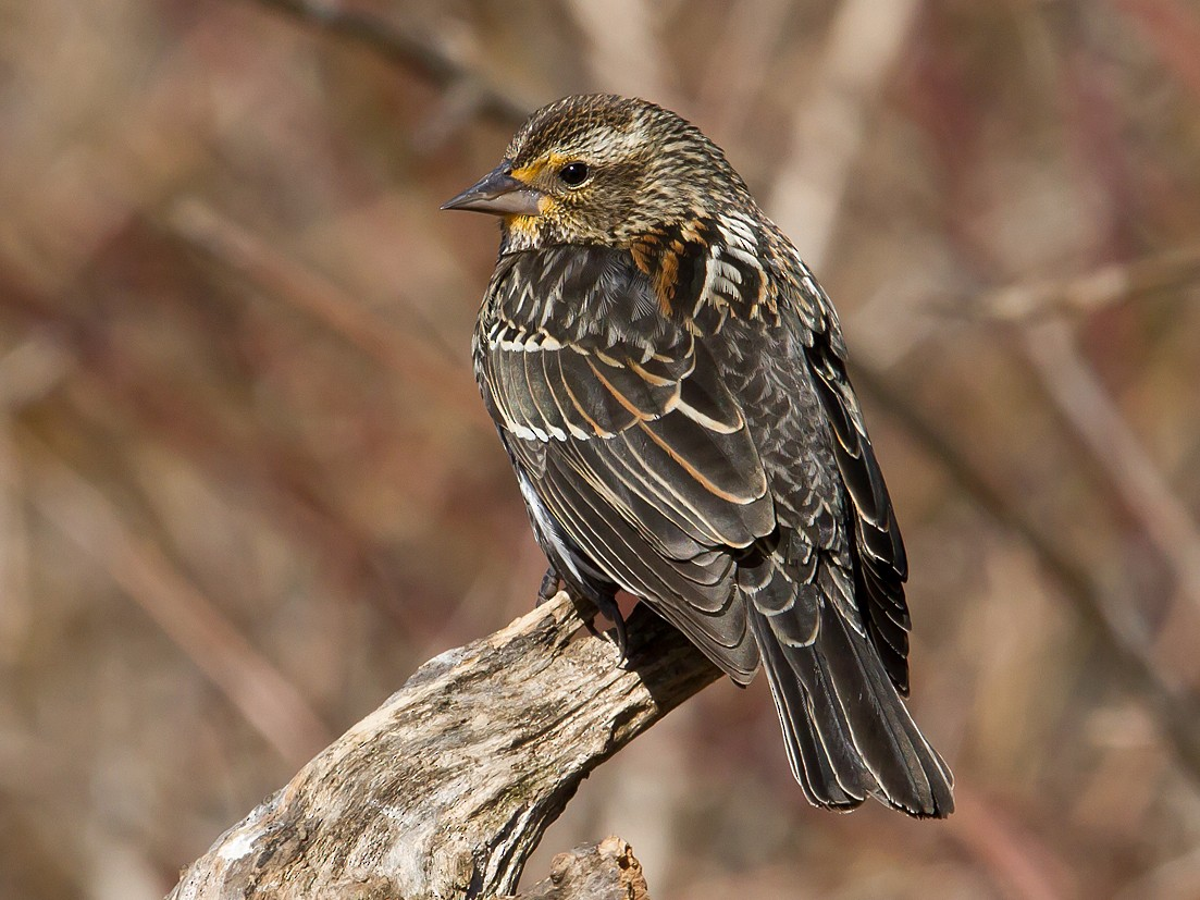 Red-winged Blackbird - David Trescak