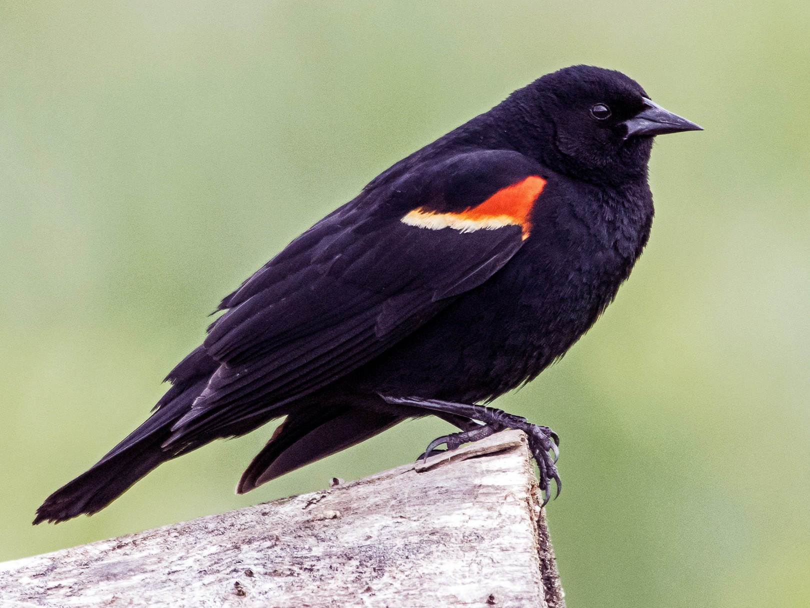Red-winged Blackbird - Phil Kahler