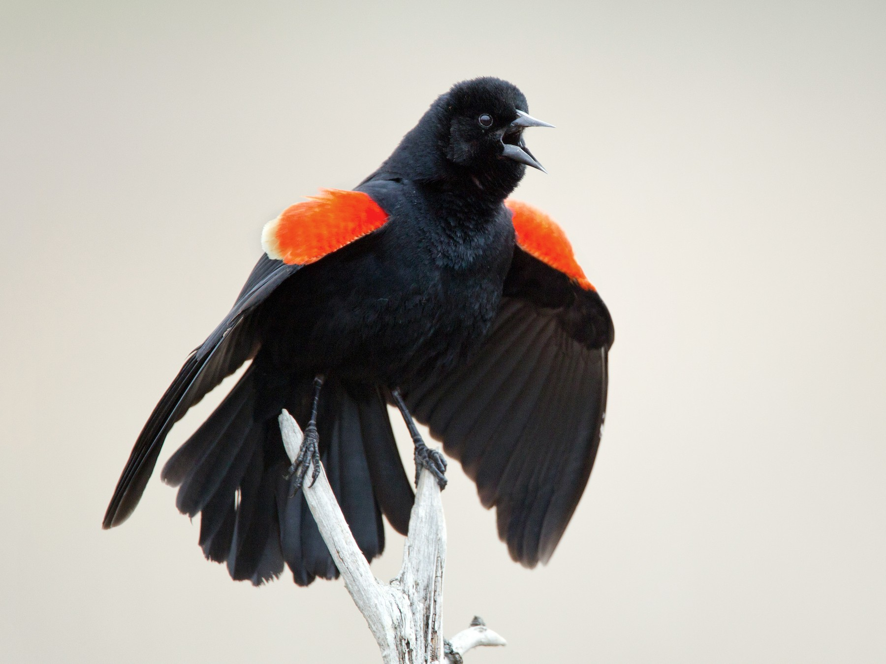 Red-winged Blackbird - Ian Davies