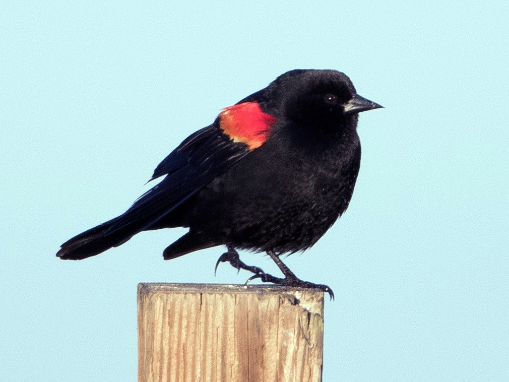 Red-winged Blackbird - Steve Kelling