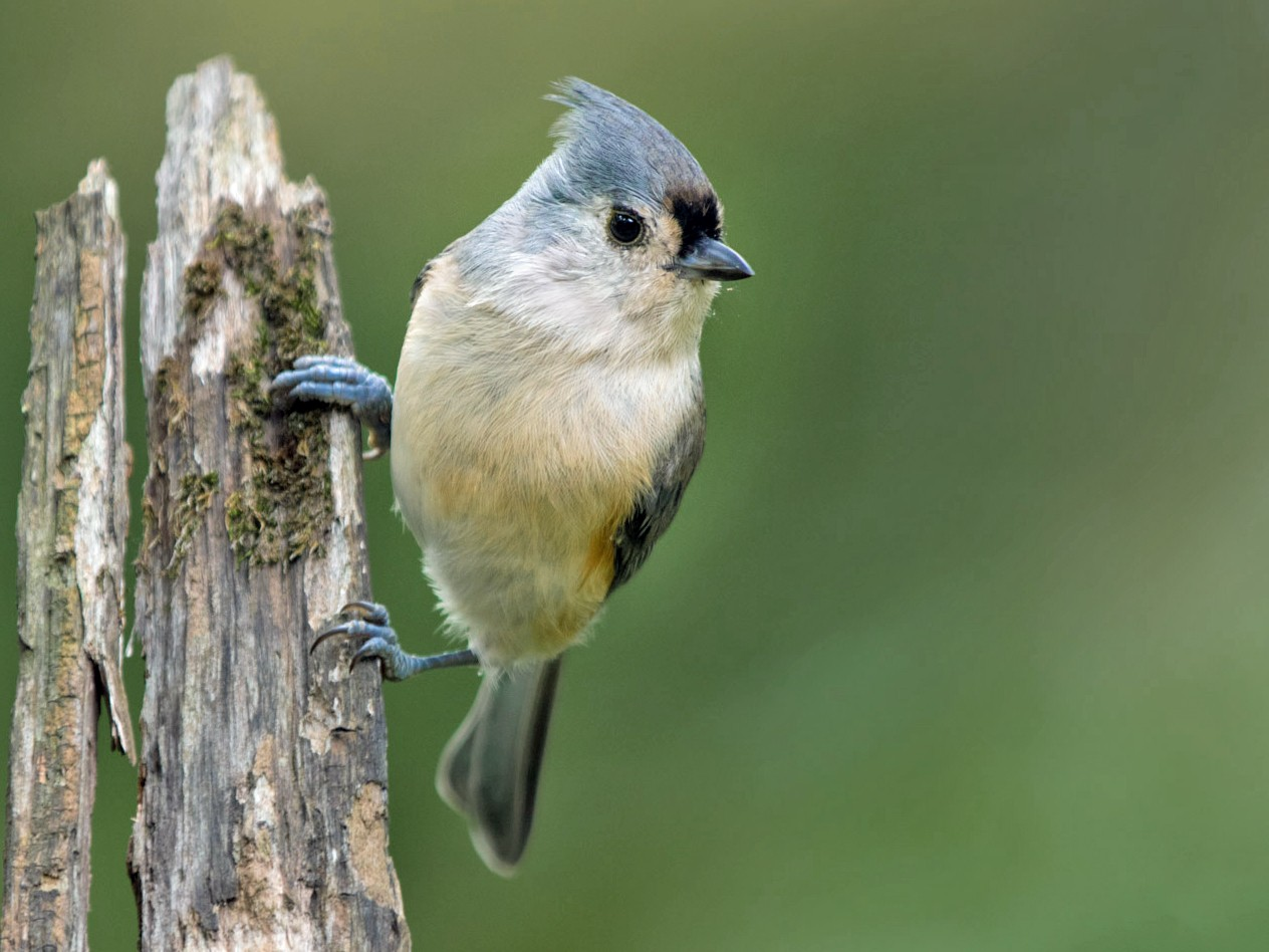 Tufted Titmouse - Daniel Hosford