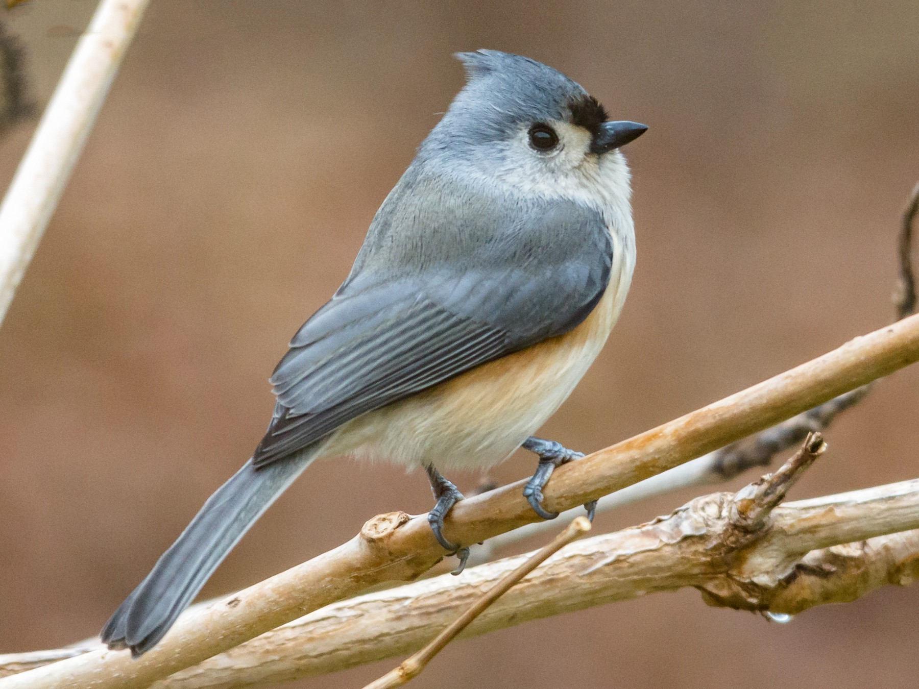 Tufted Titmouse - Ben McGann
