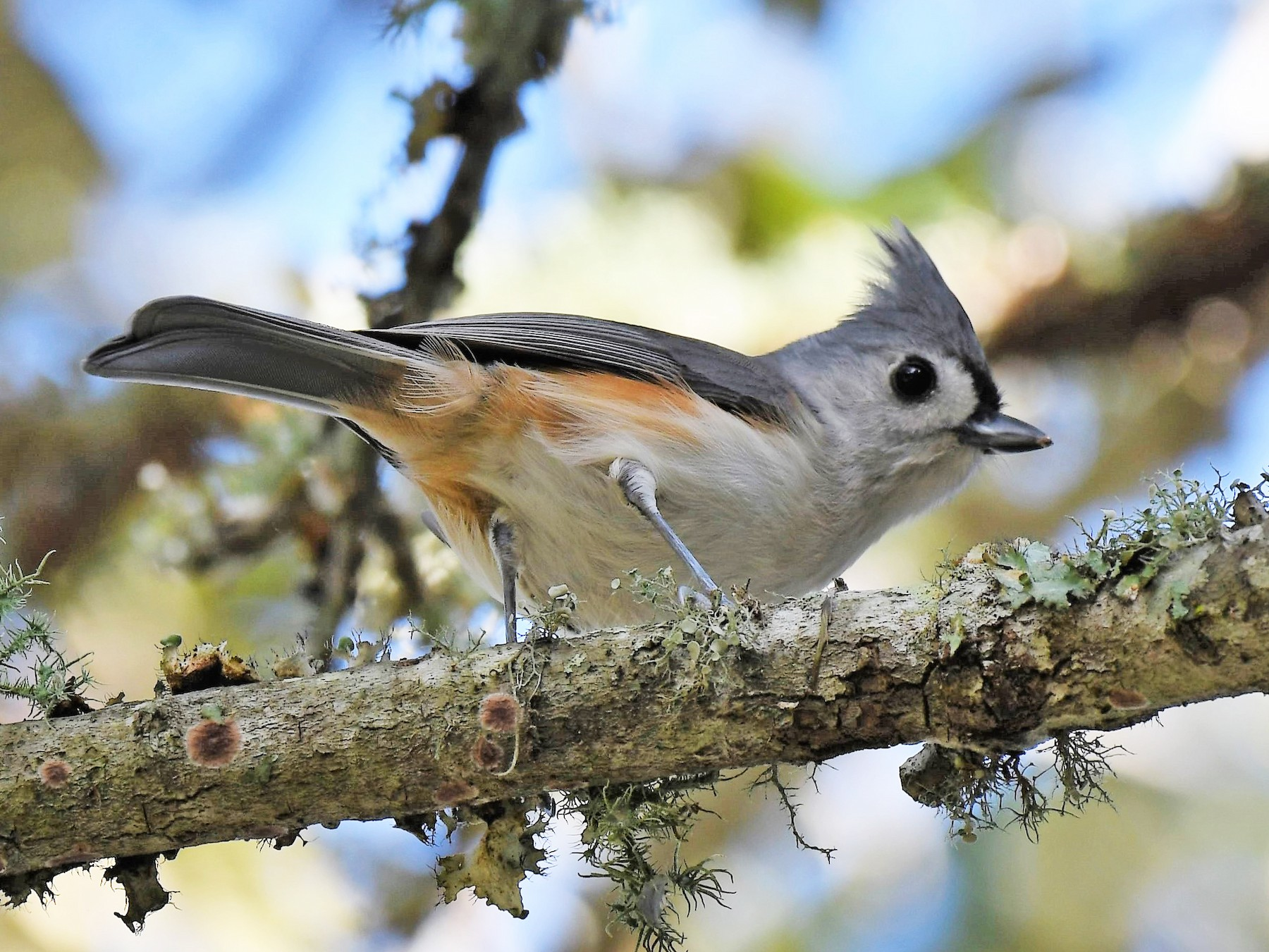 Tufted Titmouse - Bruce Cochrane