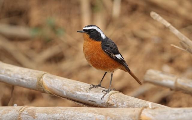 Moussier's Redstart