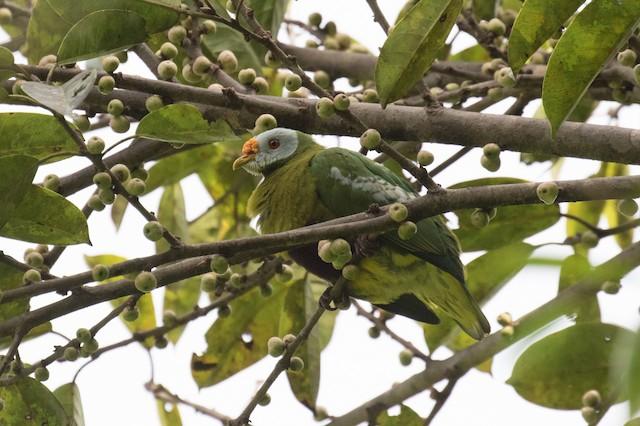 Carunculated Fruit-Dove