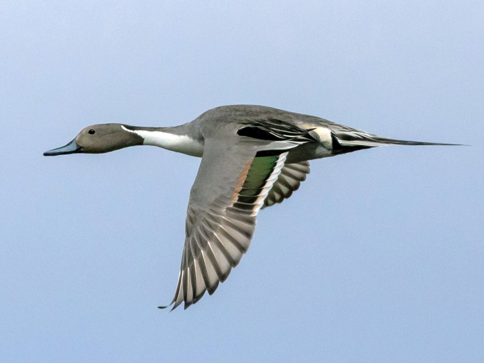Northern Pintail - Kathleen Kent