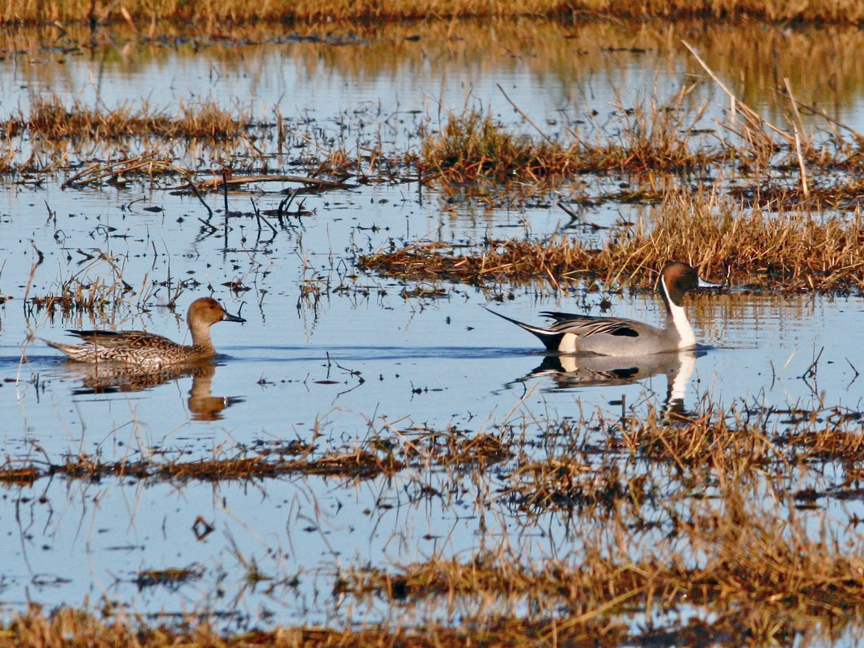 Northern Pintail - Oscar Johnson
