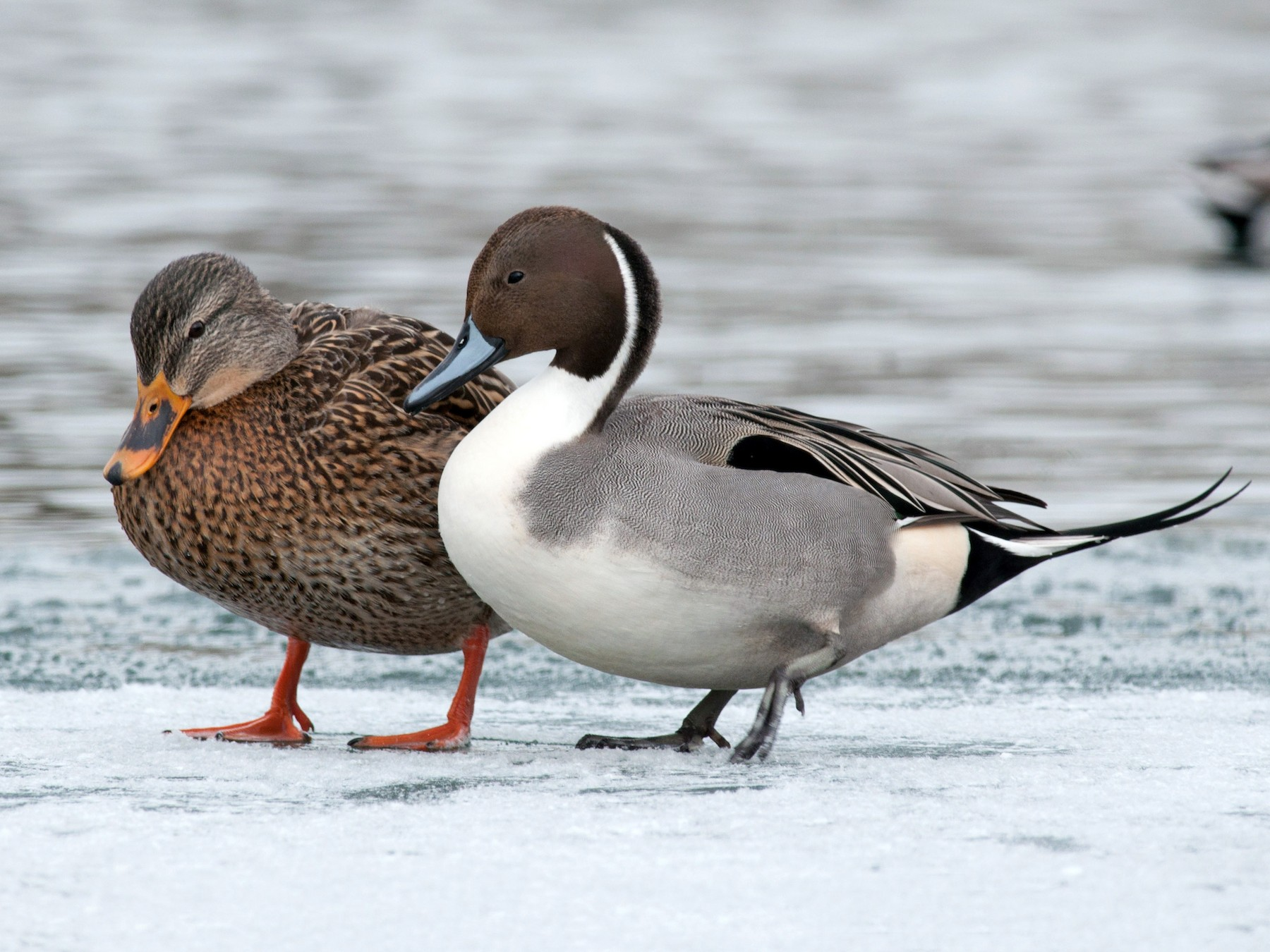 Northern Pintail - Amanda Guercio