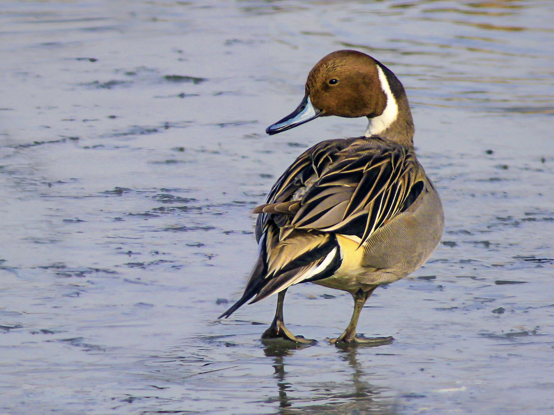 Northern Pintail - Matthew Pendleton