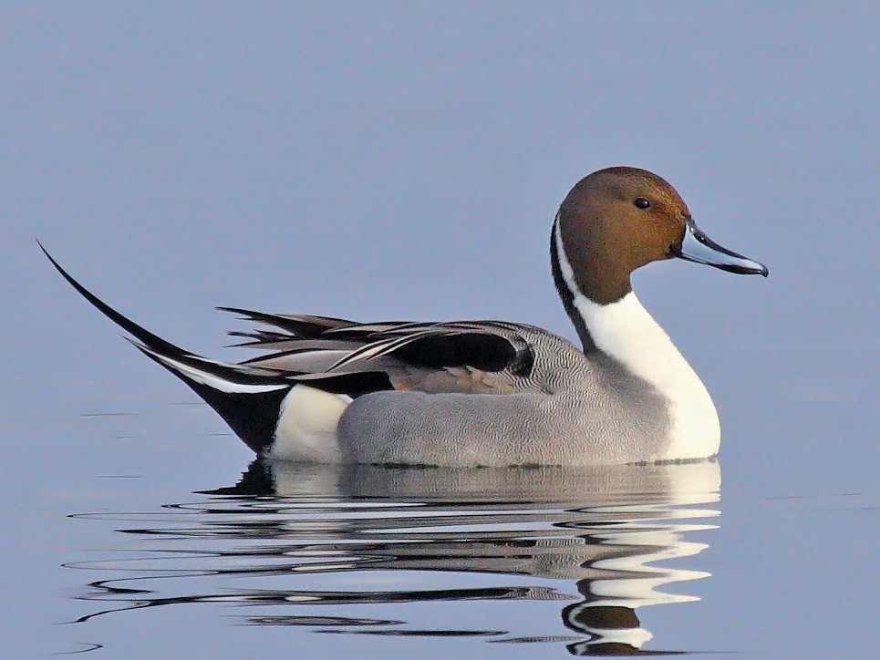 Northern Pintail - Paul Hueber