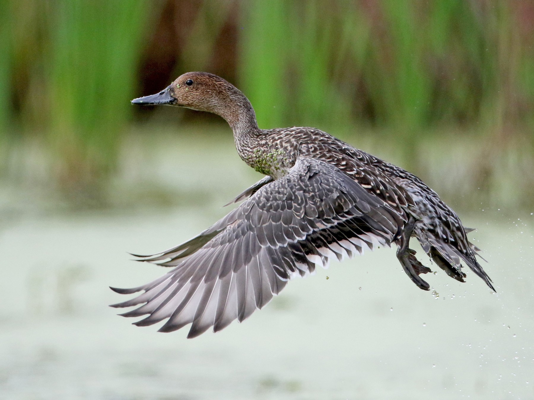 Northern Pintail - Jay McGowan