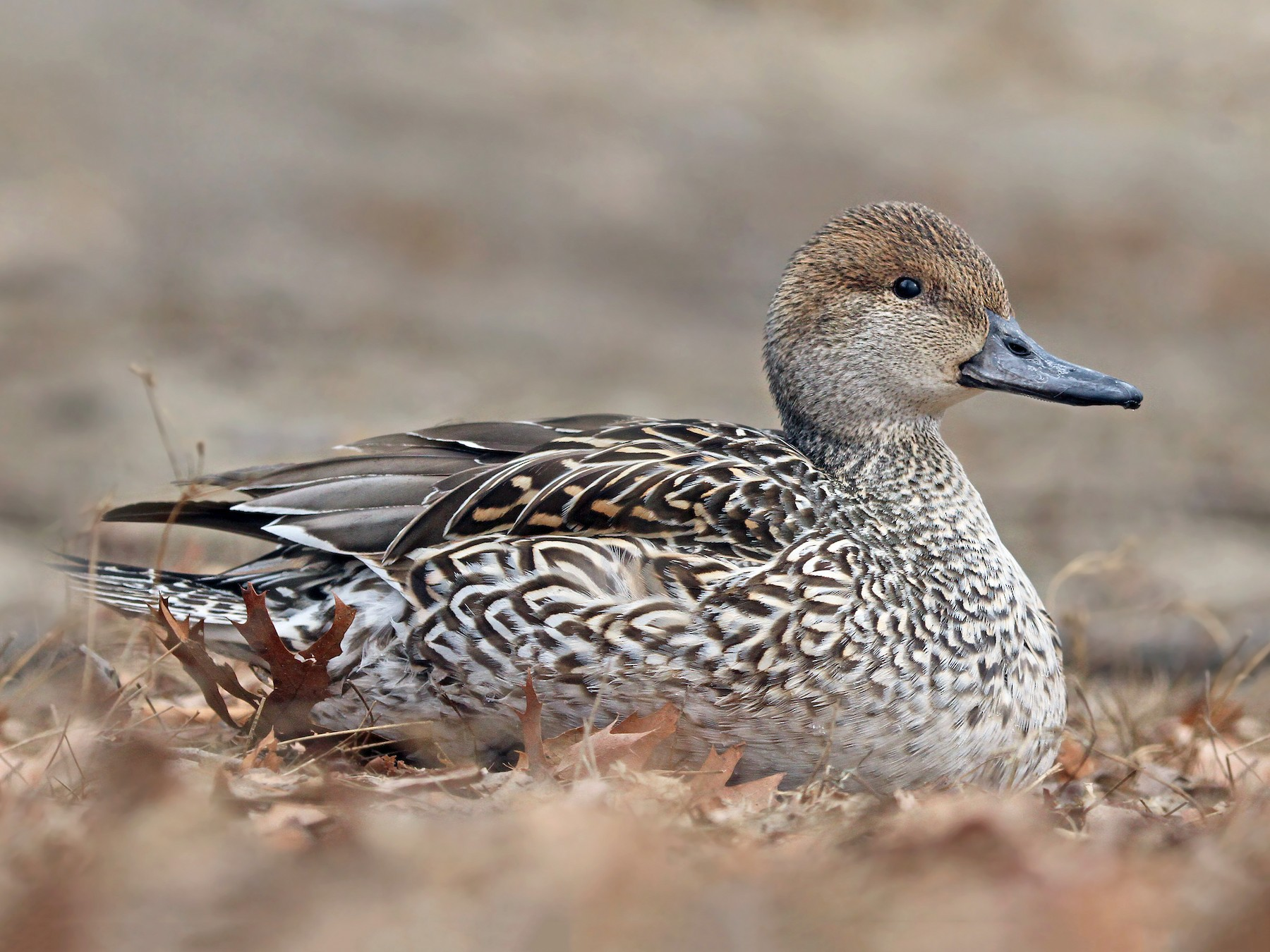 Northern Pintail - Ryan Schain