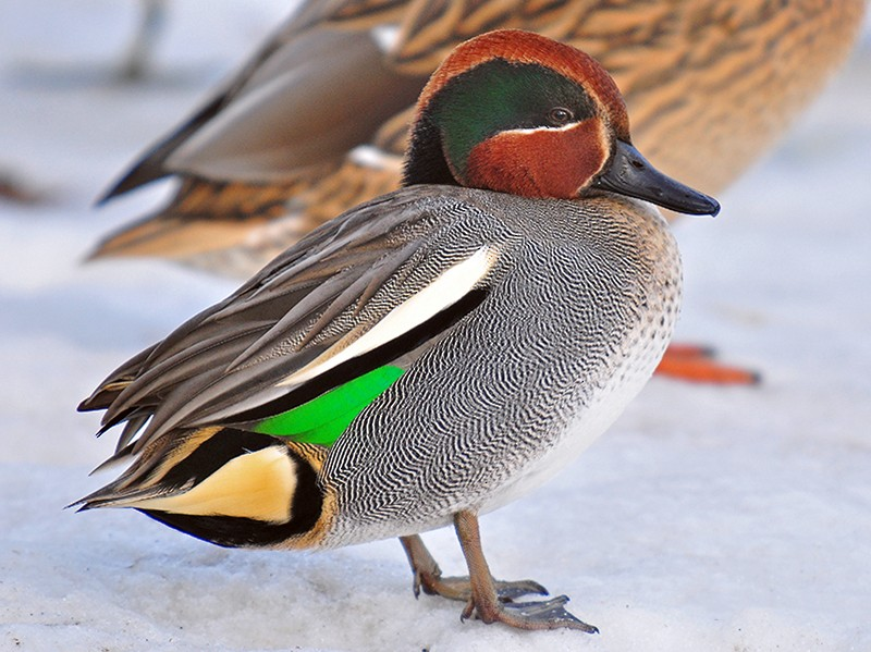 Green-winged Teal (Common Teal) - Guido Bennen
