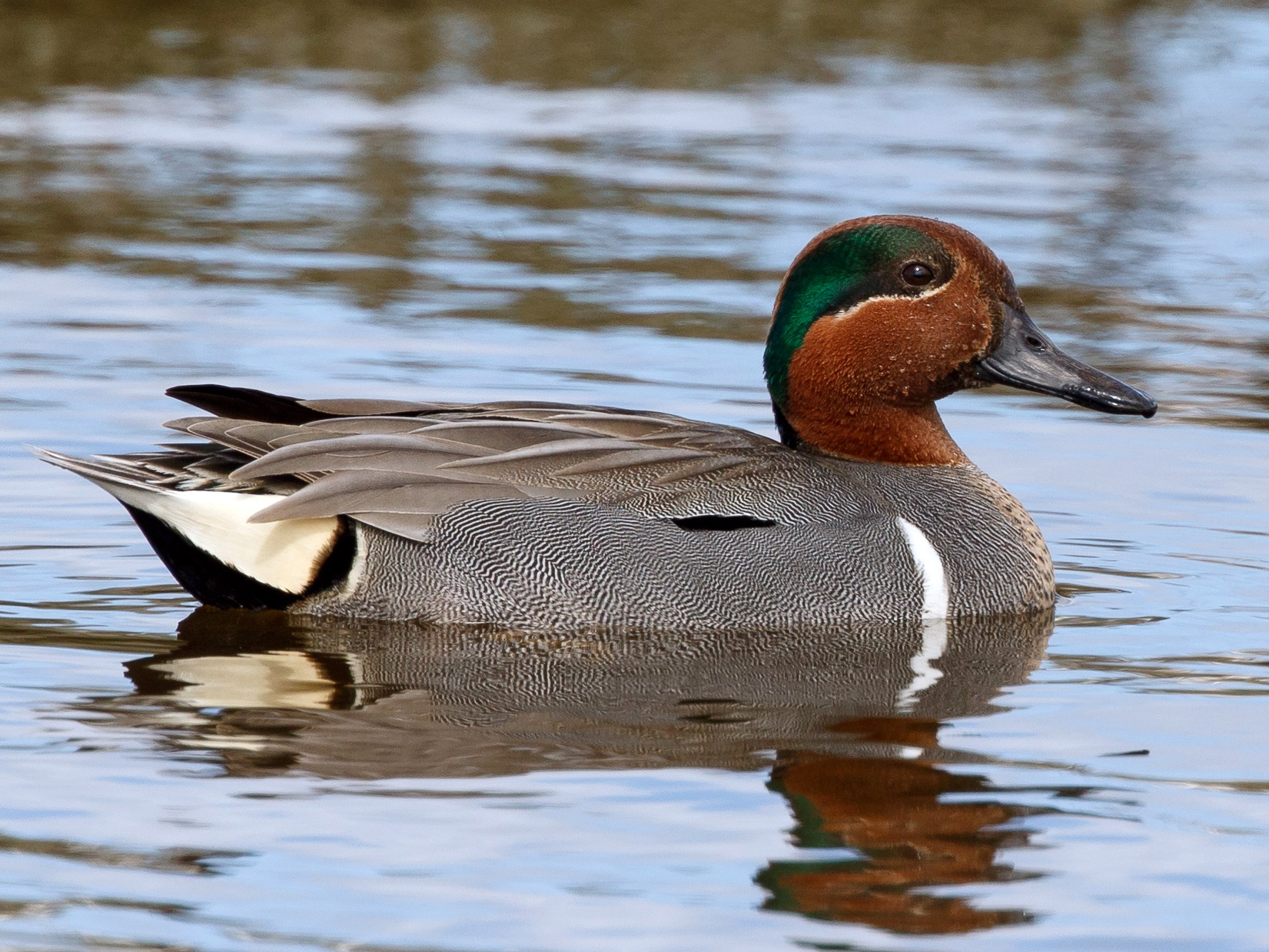 Green-winged Teal (Common Teal) - Jeff Stacey