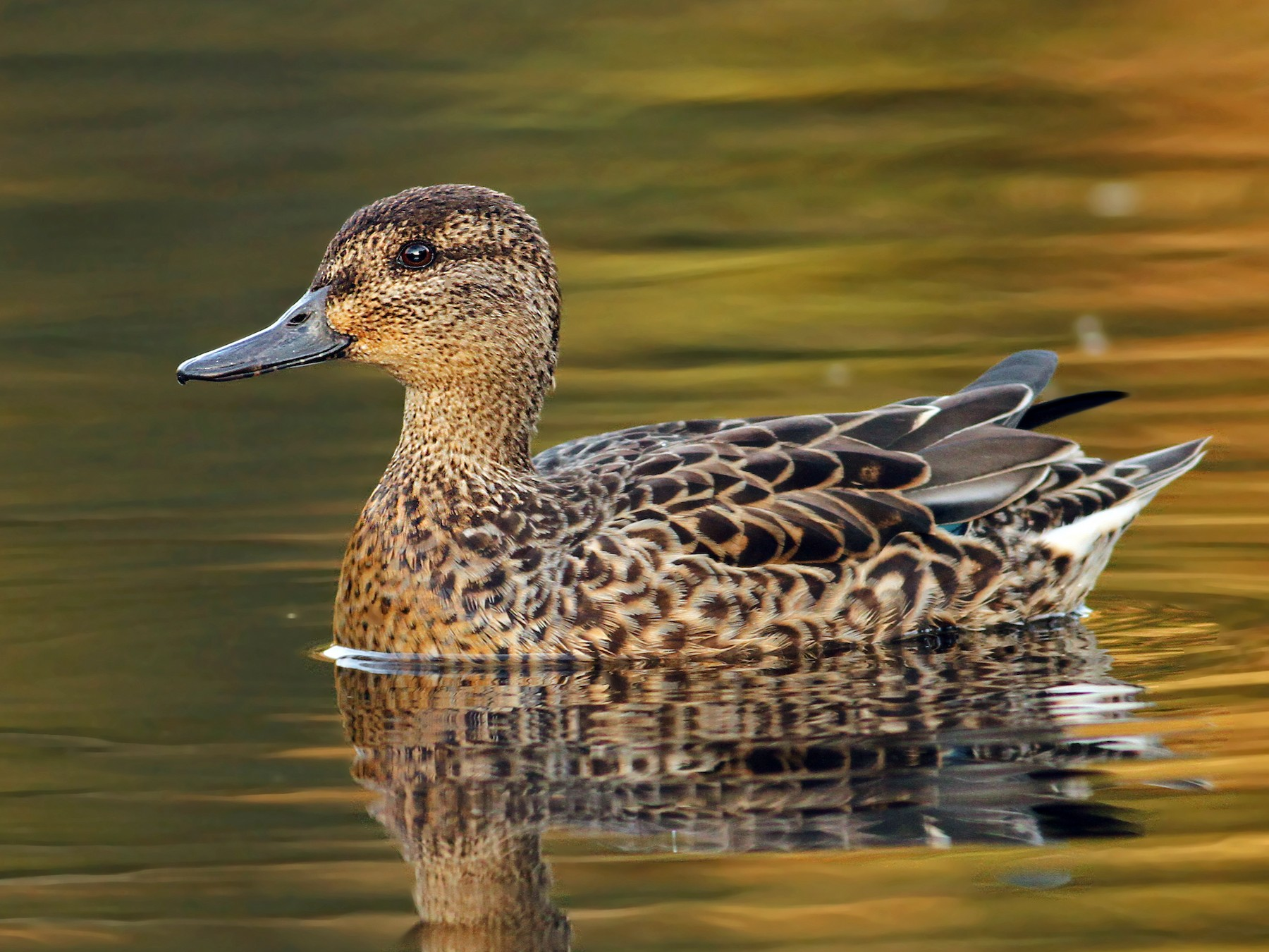 Green-winged Teal (Common Teal) - Luke Seitz