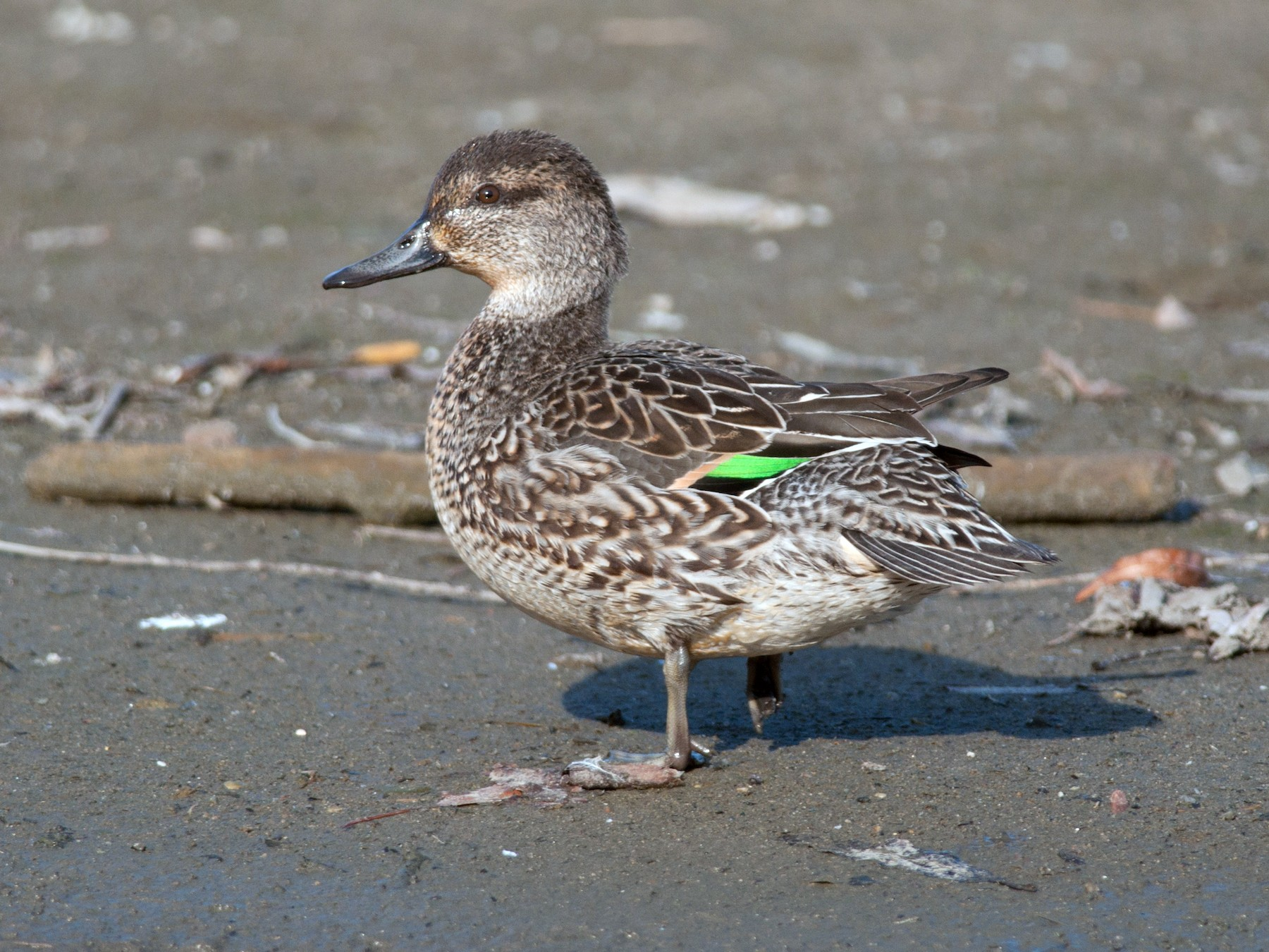 Green-winged Teal - Anonymous eBirder