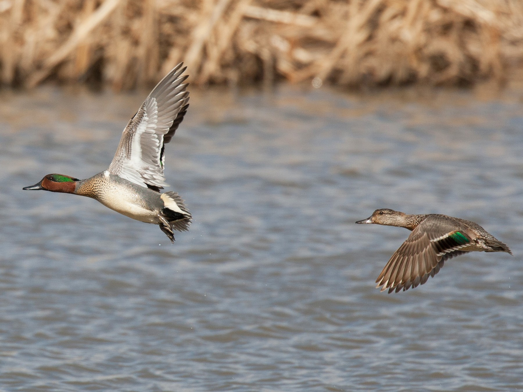 Green-winged Teal (Common Teal) - Chris Wood