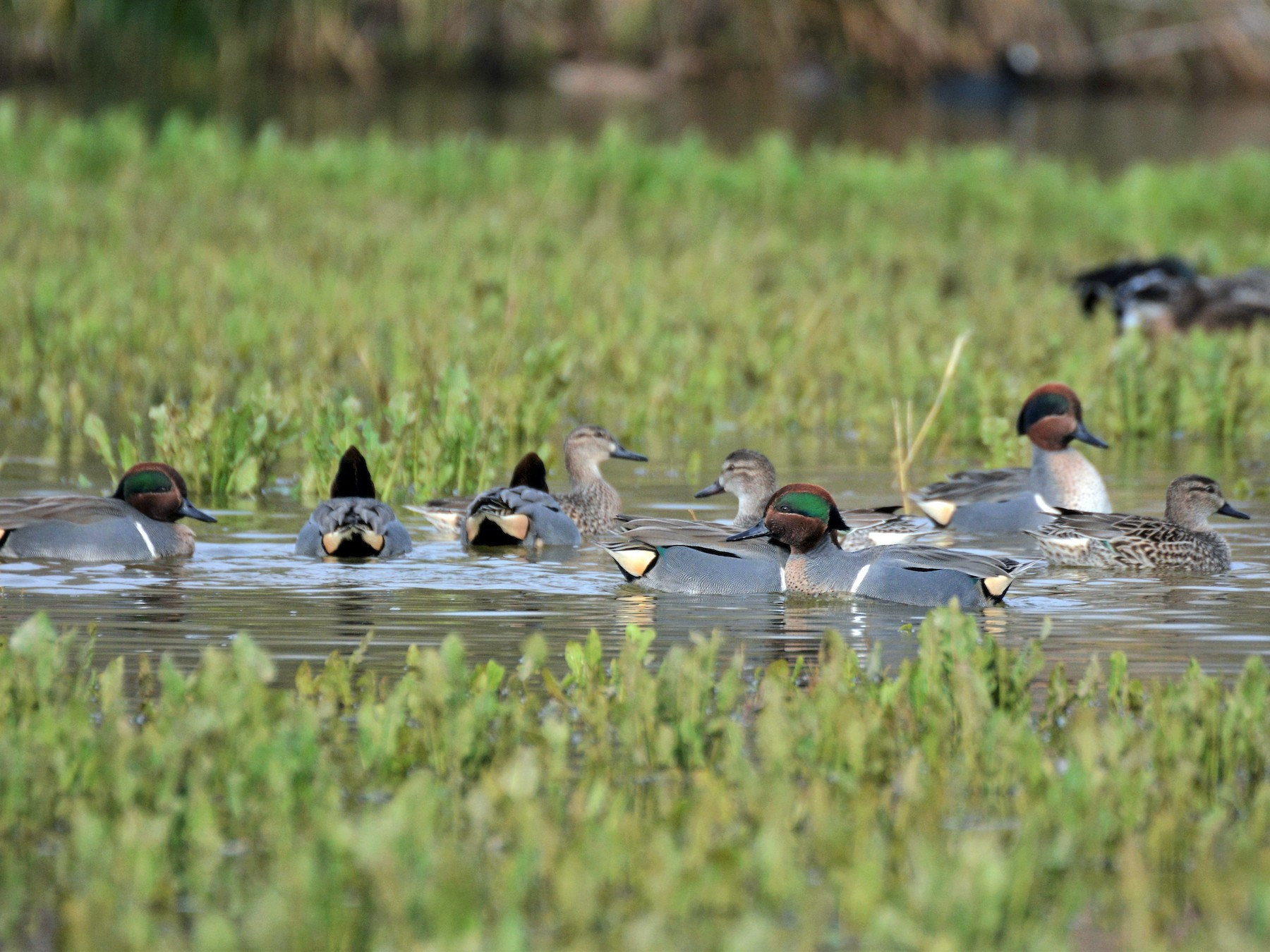 Green-winged Teal (Common Teal) - Patrick Maurice