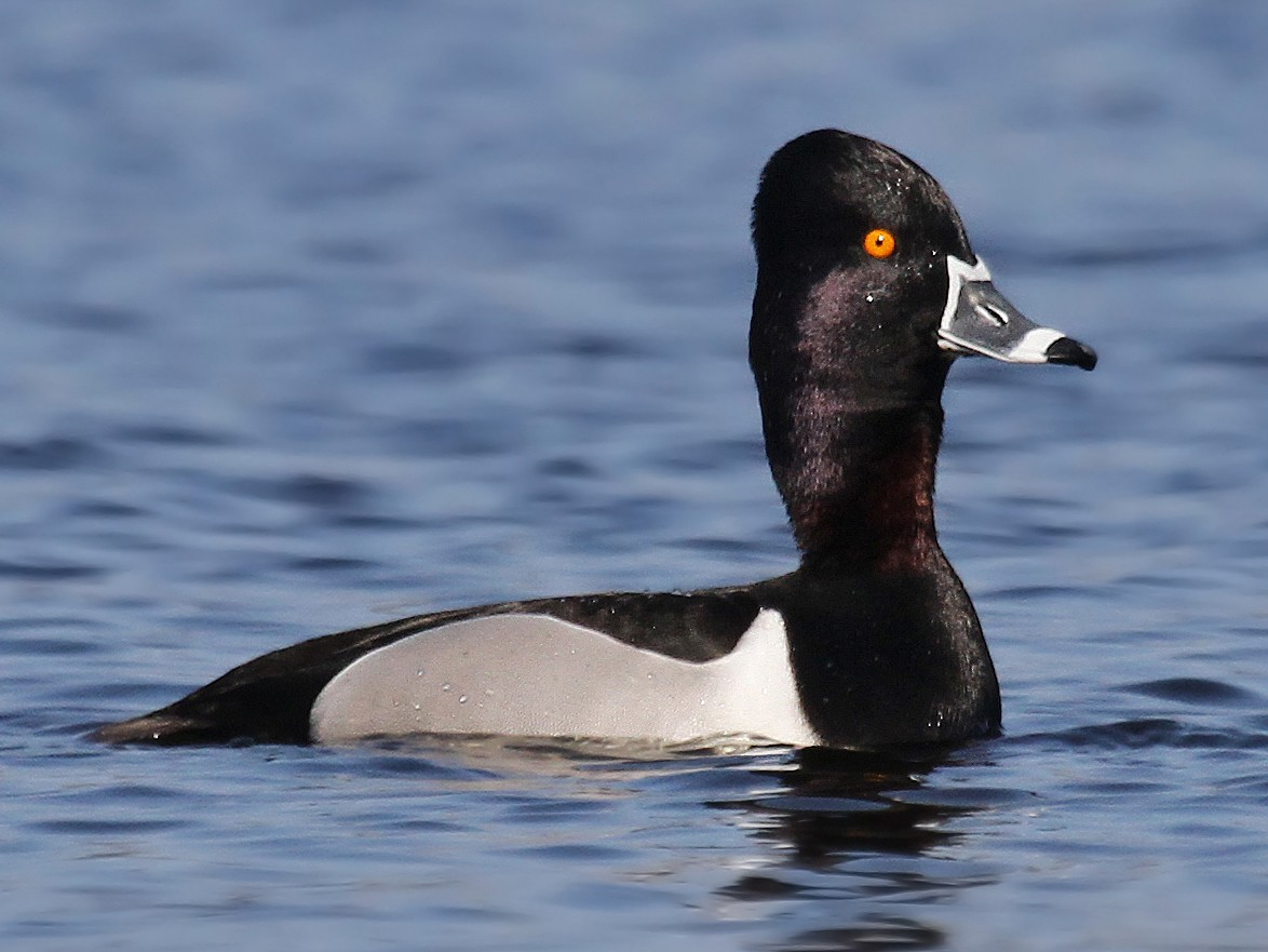 Ring-necked Duck - Ryan Schain