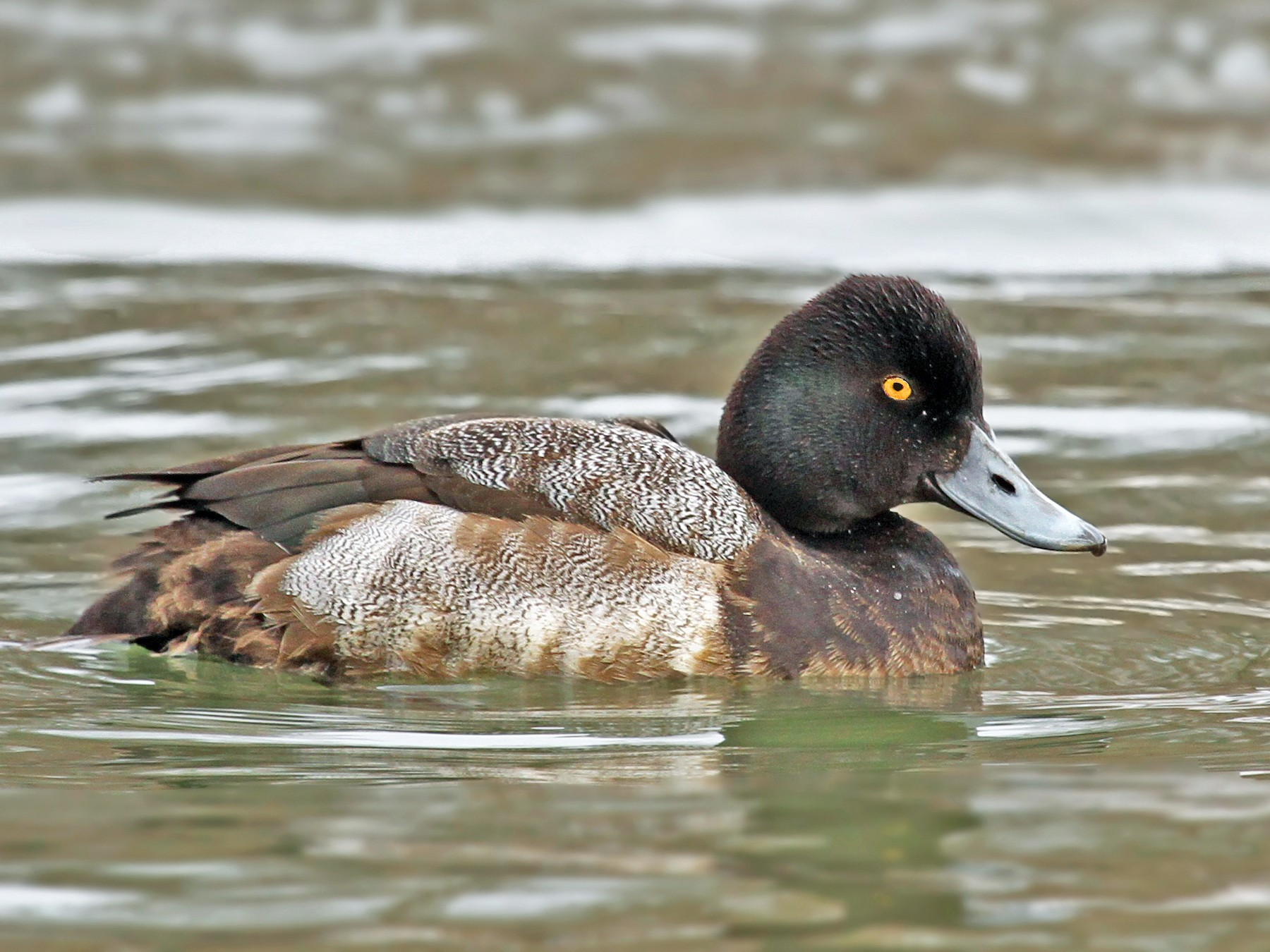 Lesser Scaup - Ryan Schain
