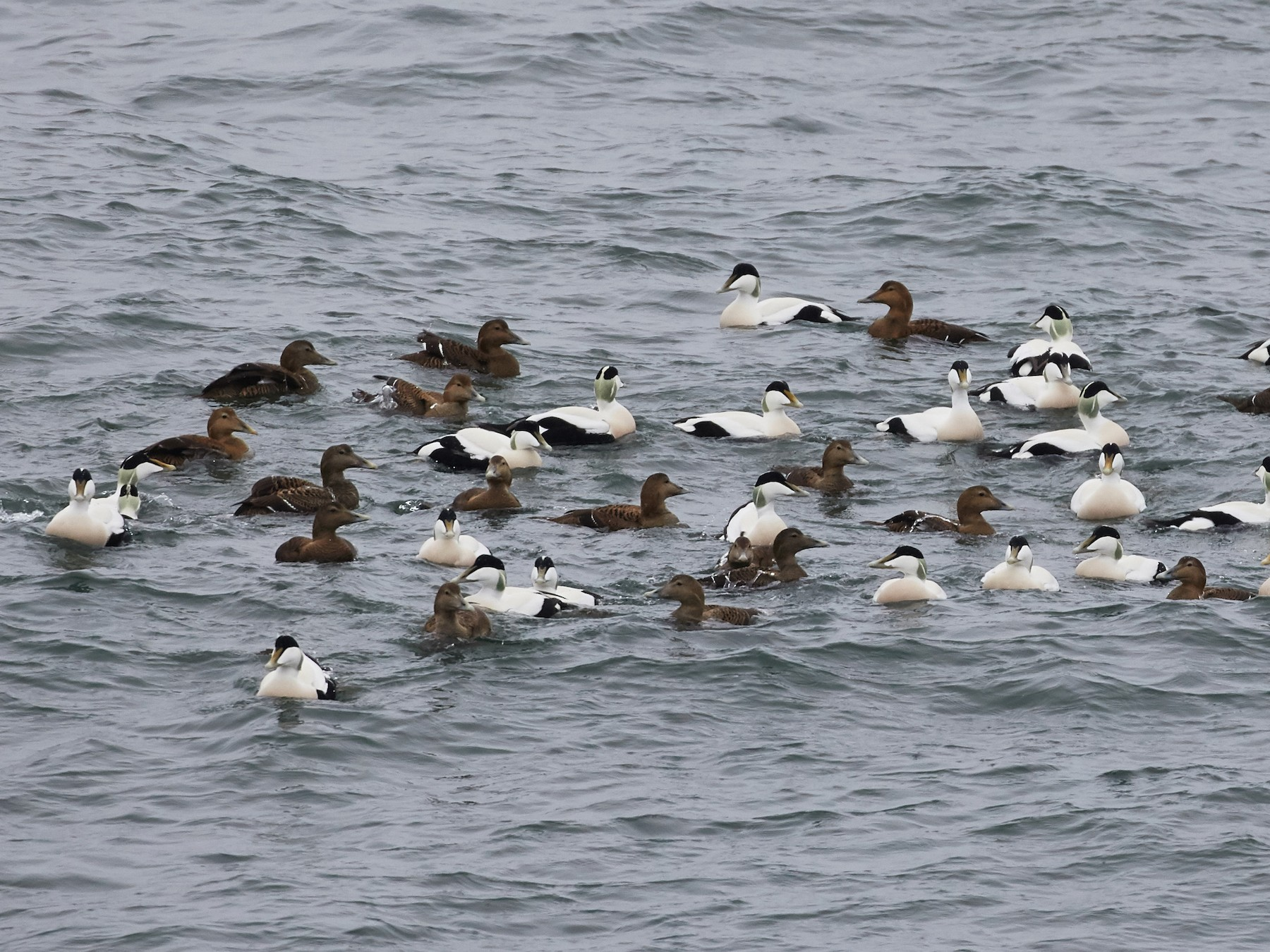 Common Eider - Brooke Miller