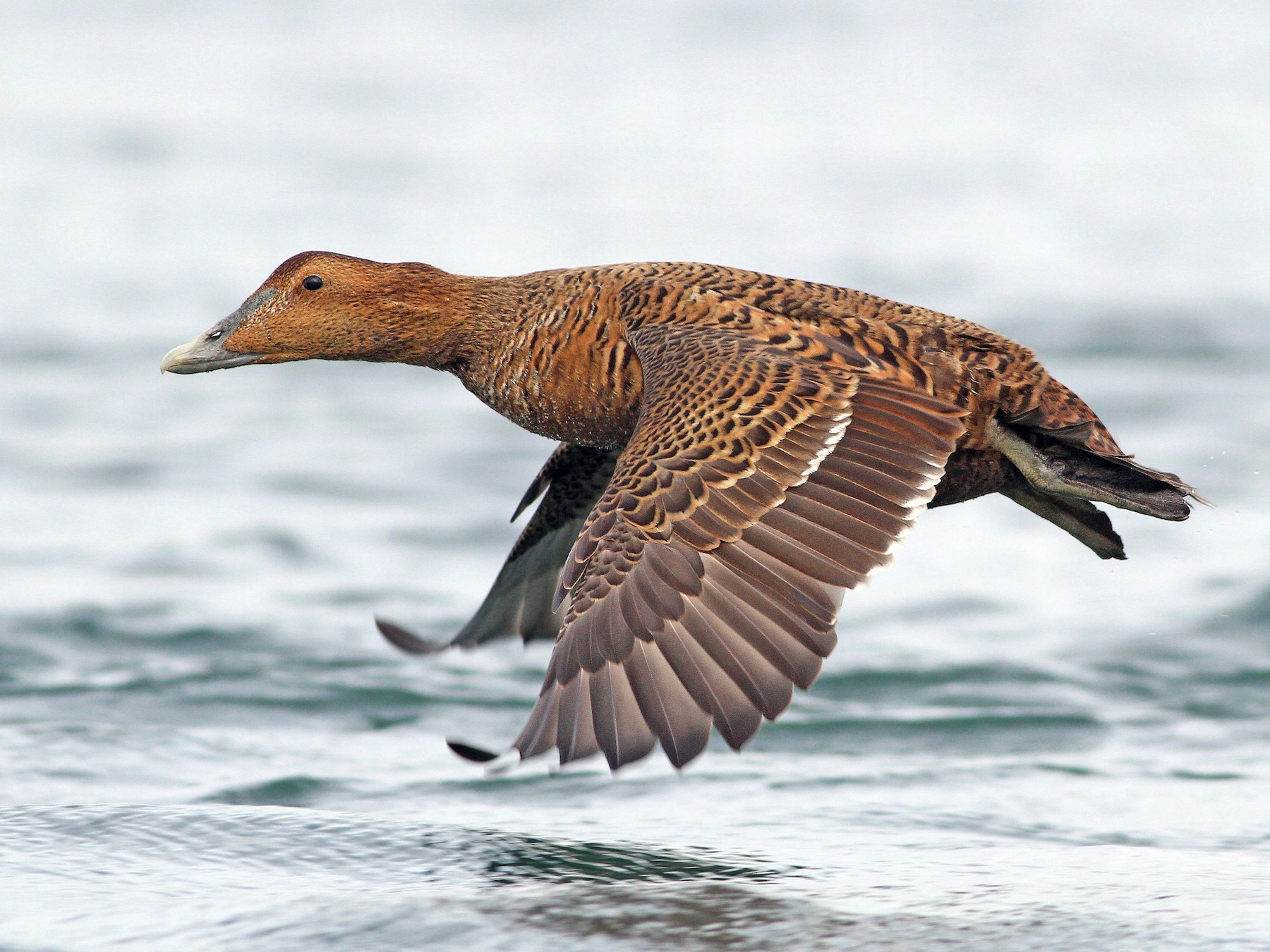 Common Eider - Evan Lipton