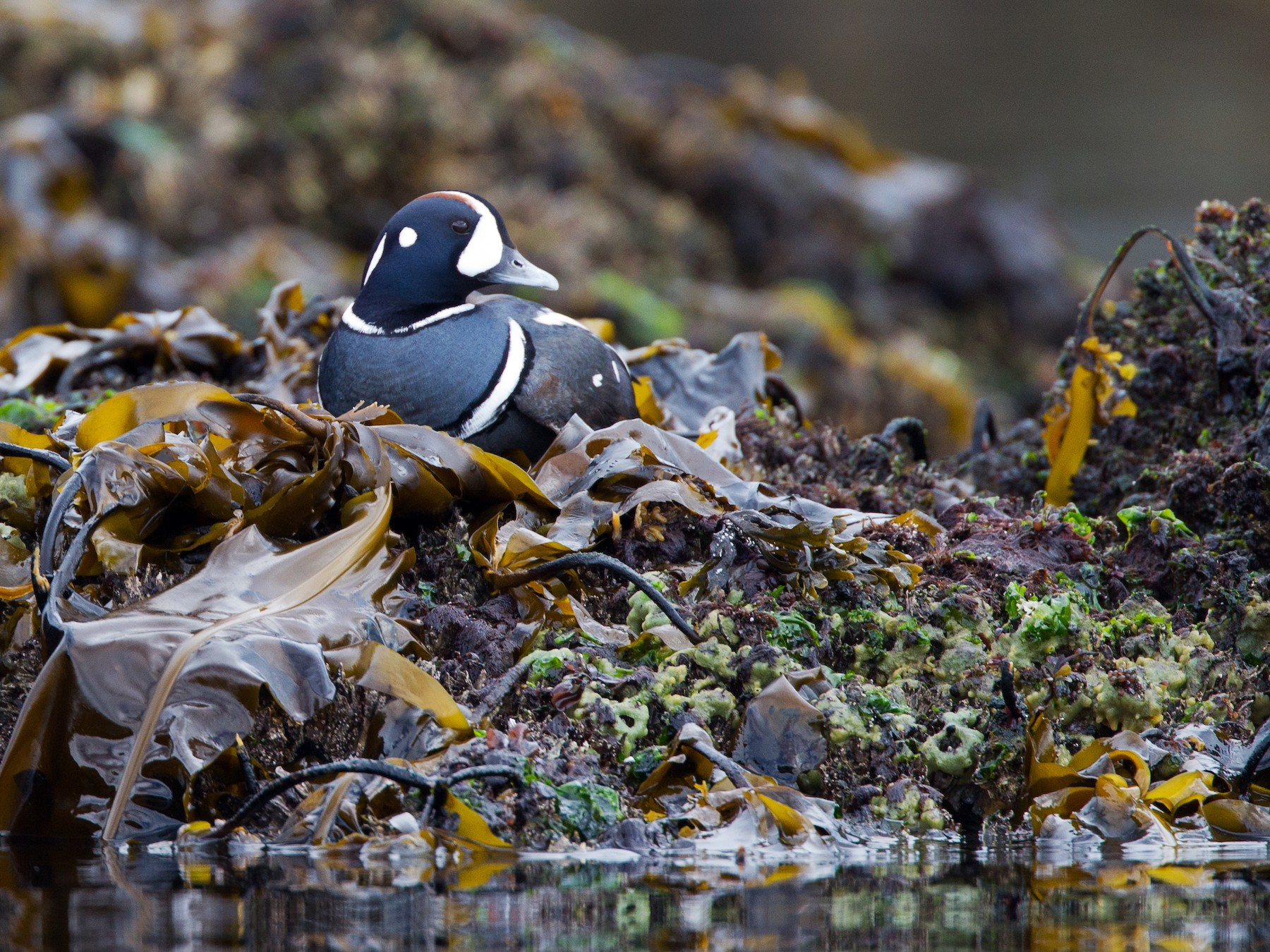 Harlequin Duck - Chris Wood