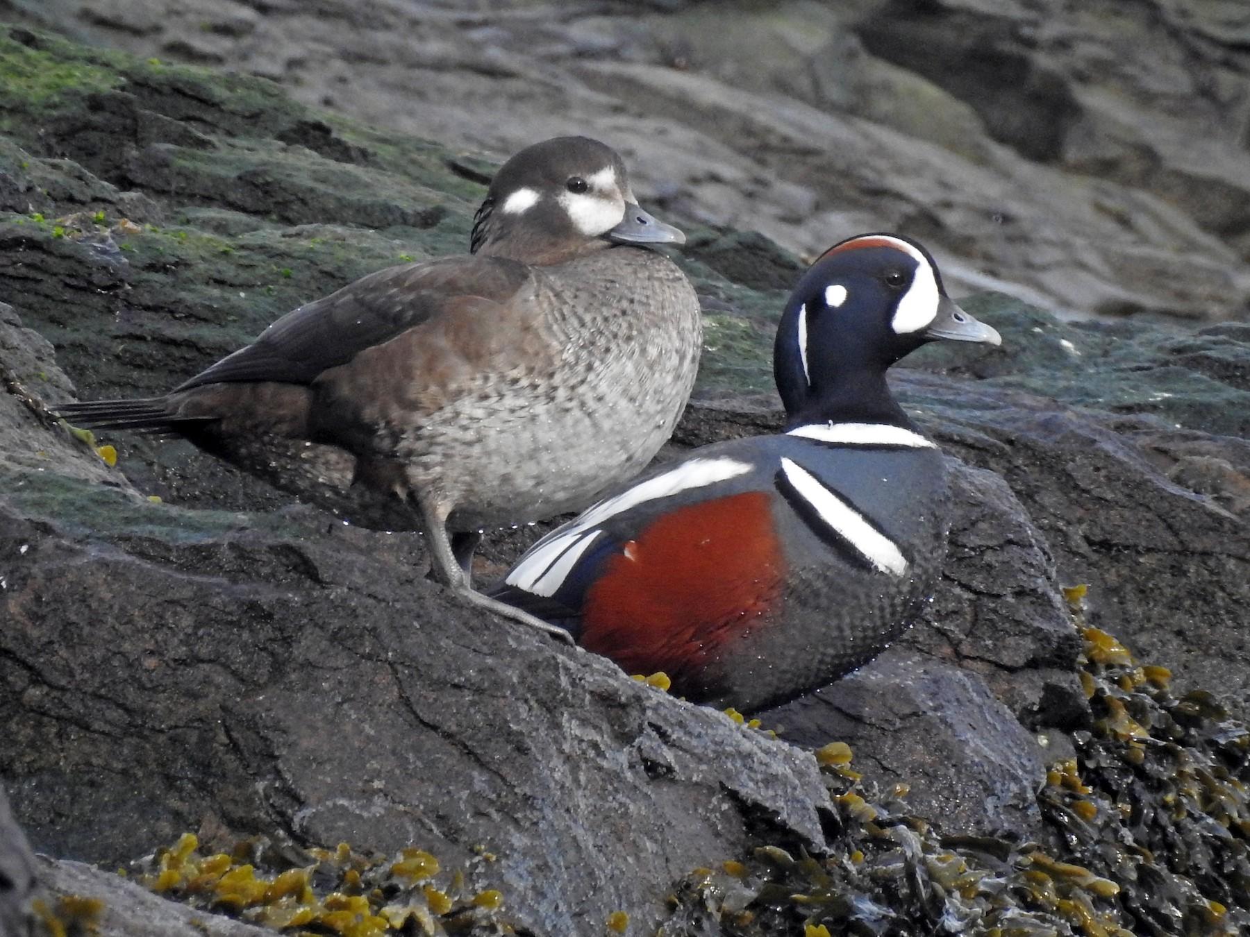 Harlequin Duck - Cos van Wermeskerken