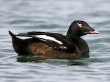White-winged/Stejneger's Scoter