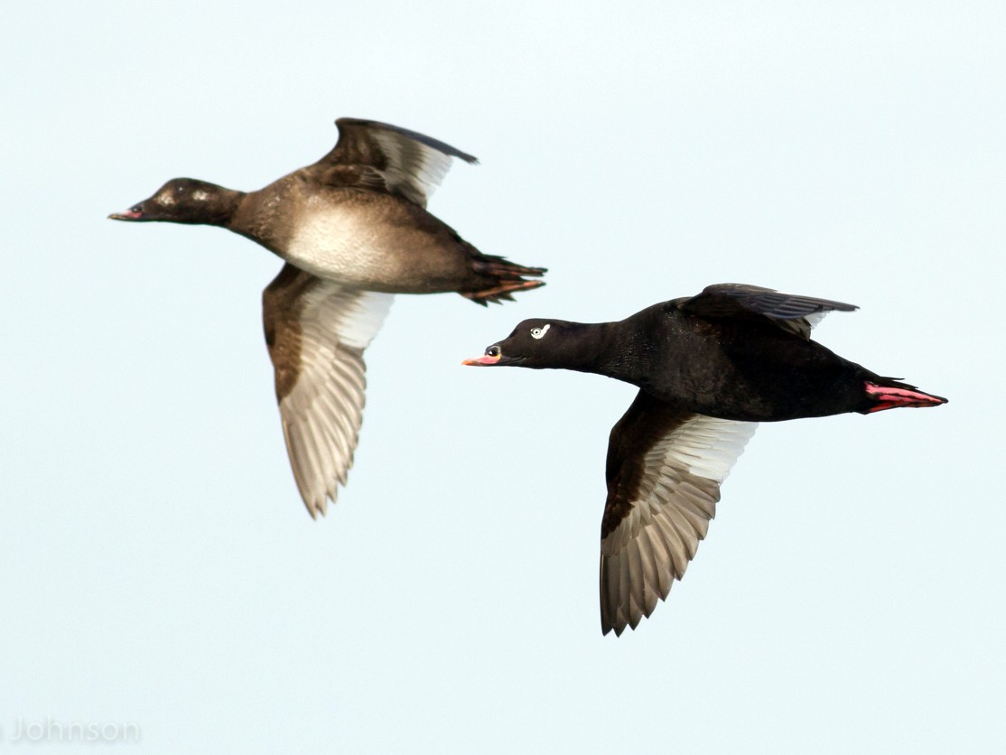 White-winged Scoter - Tom Johnson