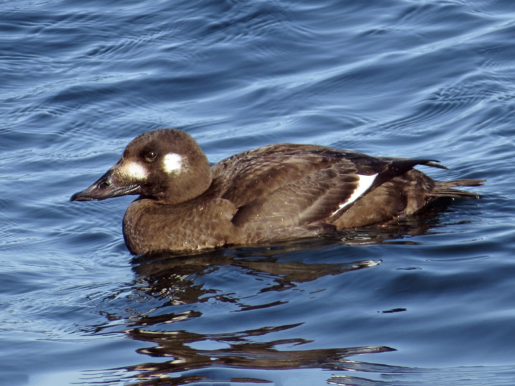 White-winged Scoter - Kevin Hannah