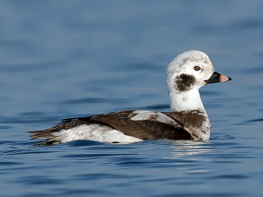 Long-tailed Duck - PMDE ESTEVES