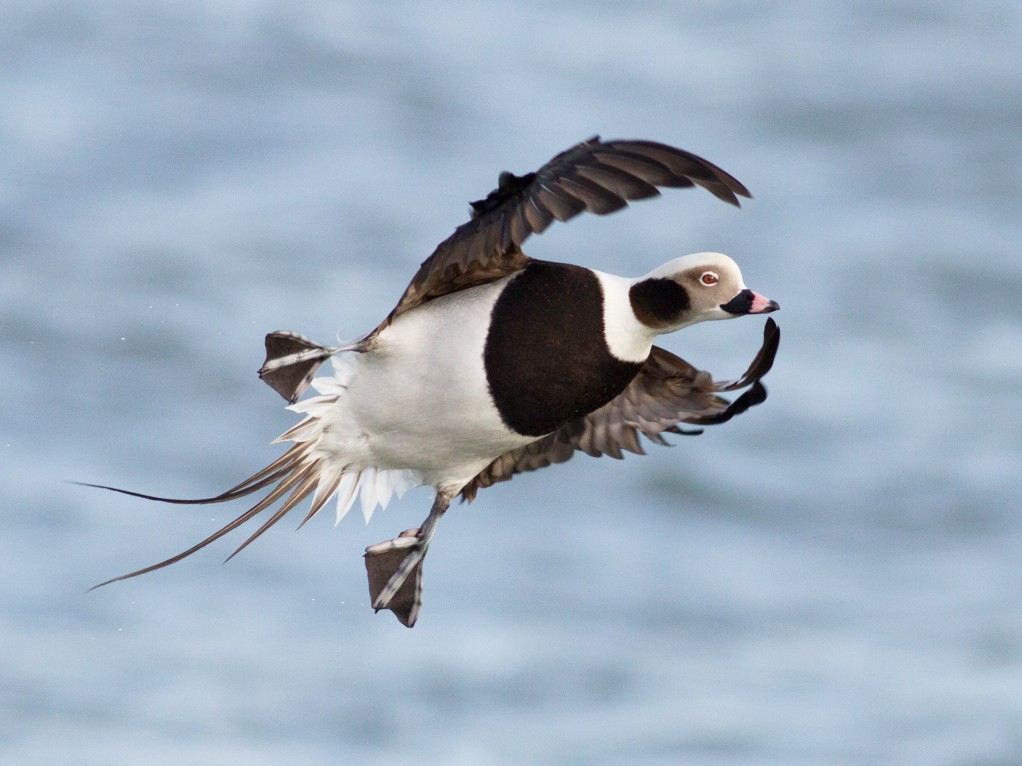 Long-tailed Duck - Tom Johnson