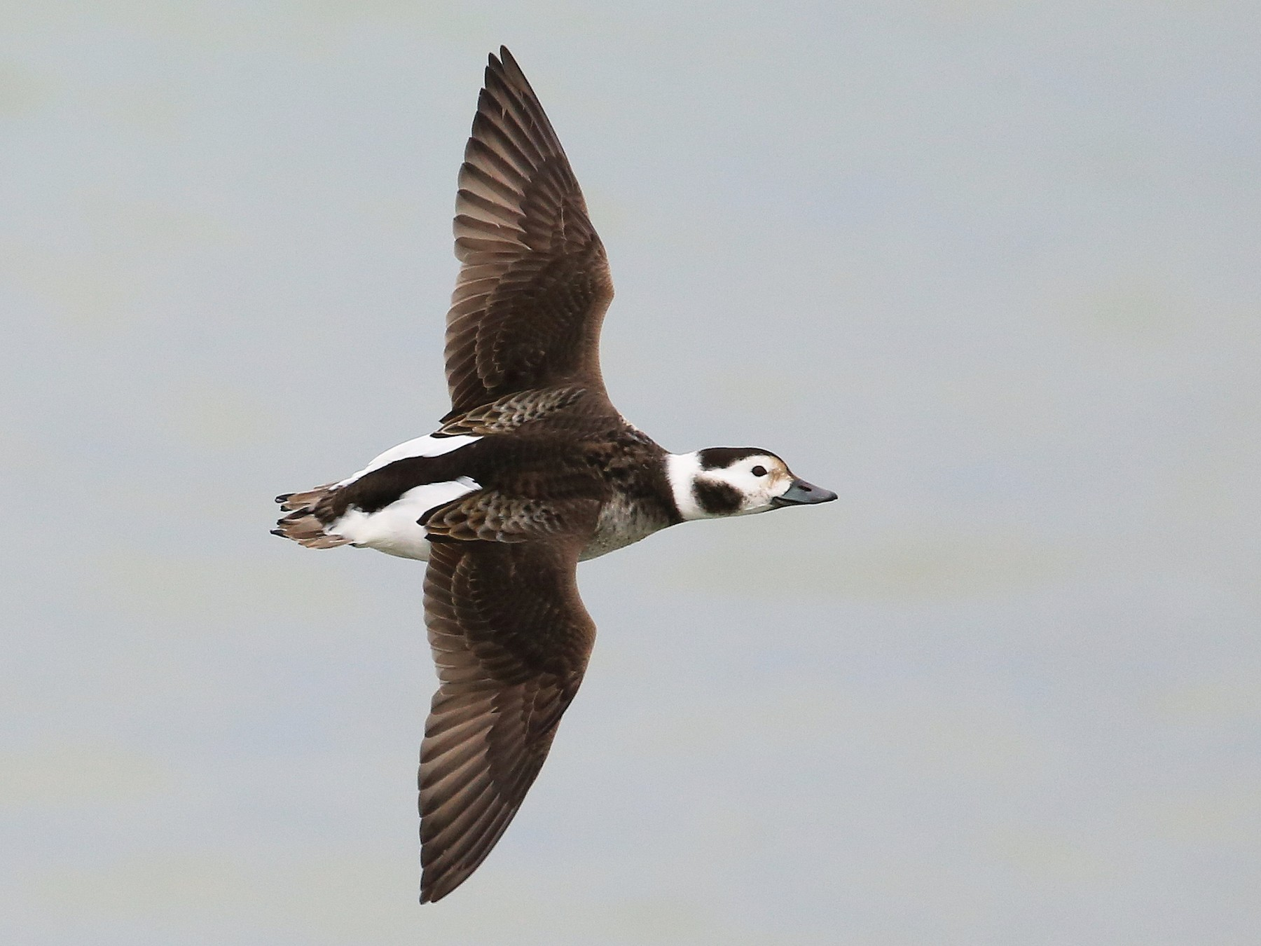 Long-tailed Duck - Tim Lenz
