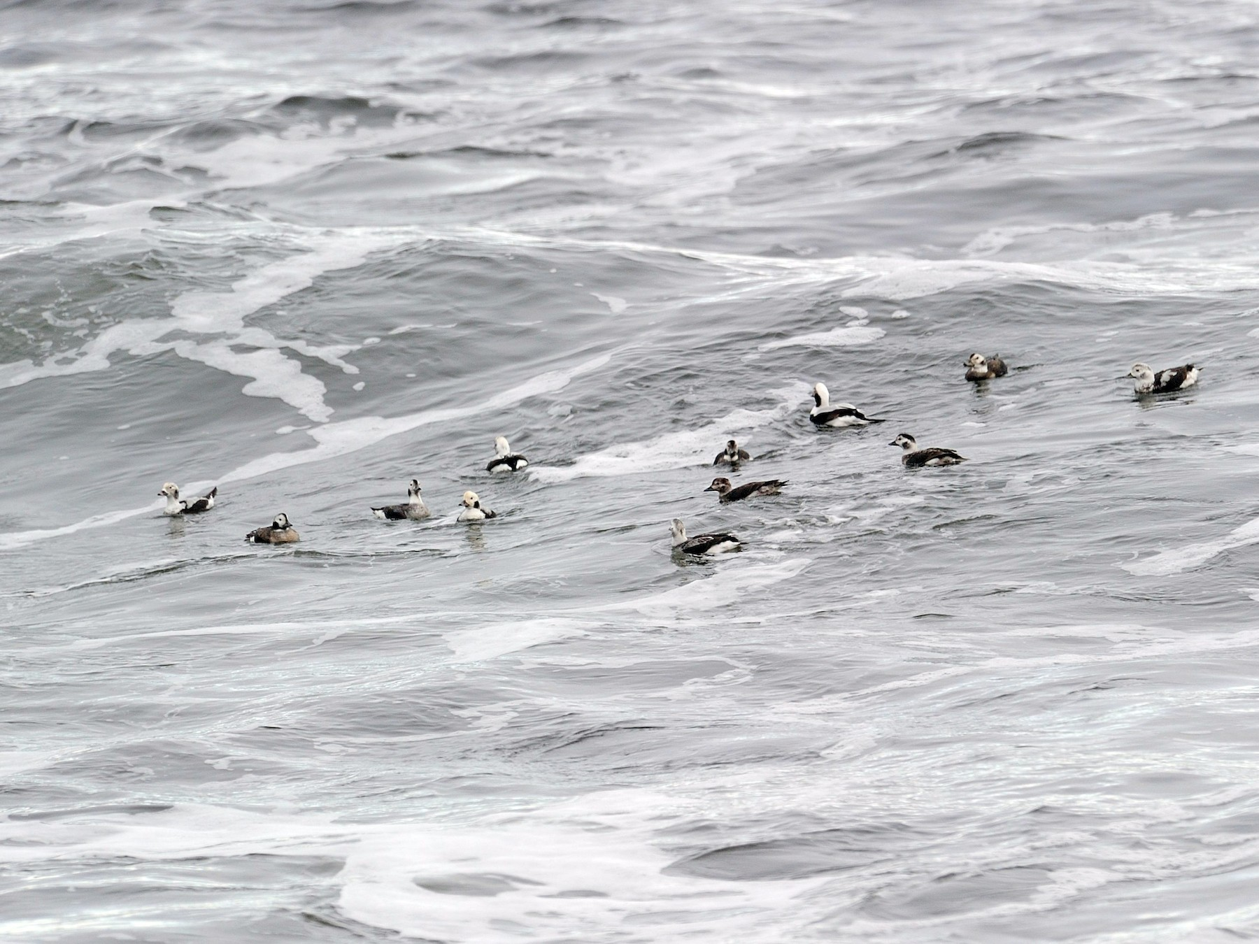 Long-tailed Duck - Shawn Fitzpatrick
