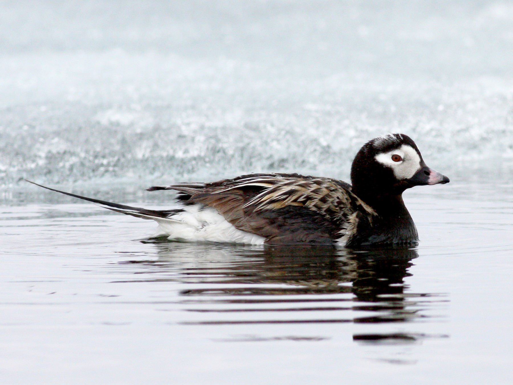 Long-tailed Duck - Jay McGowan