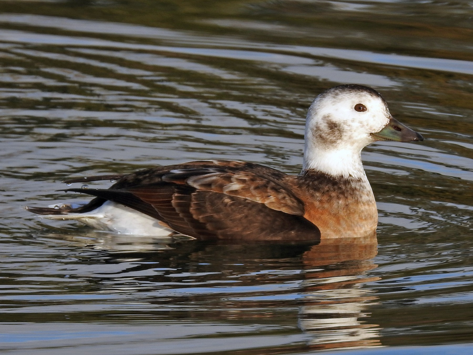 Long-tailed Duck - Tom Auer