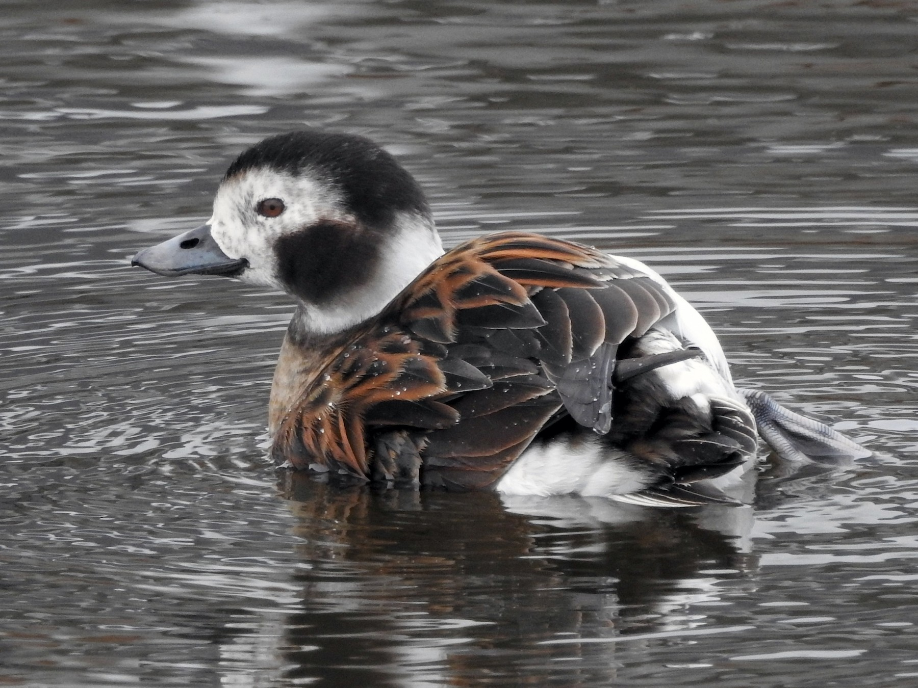 Long-tailed Duck - Samuel Burckhardt