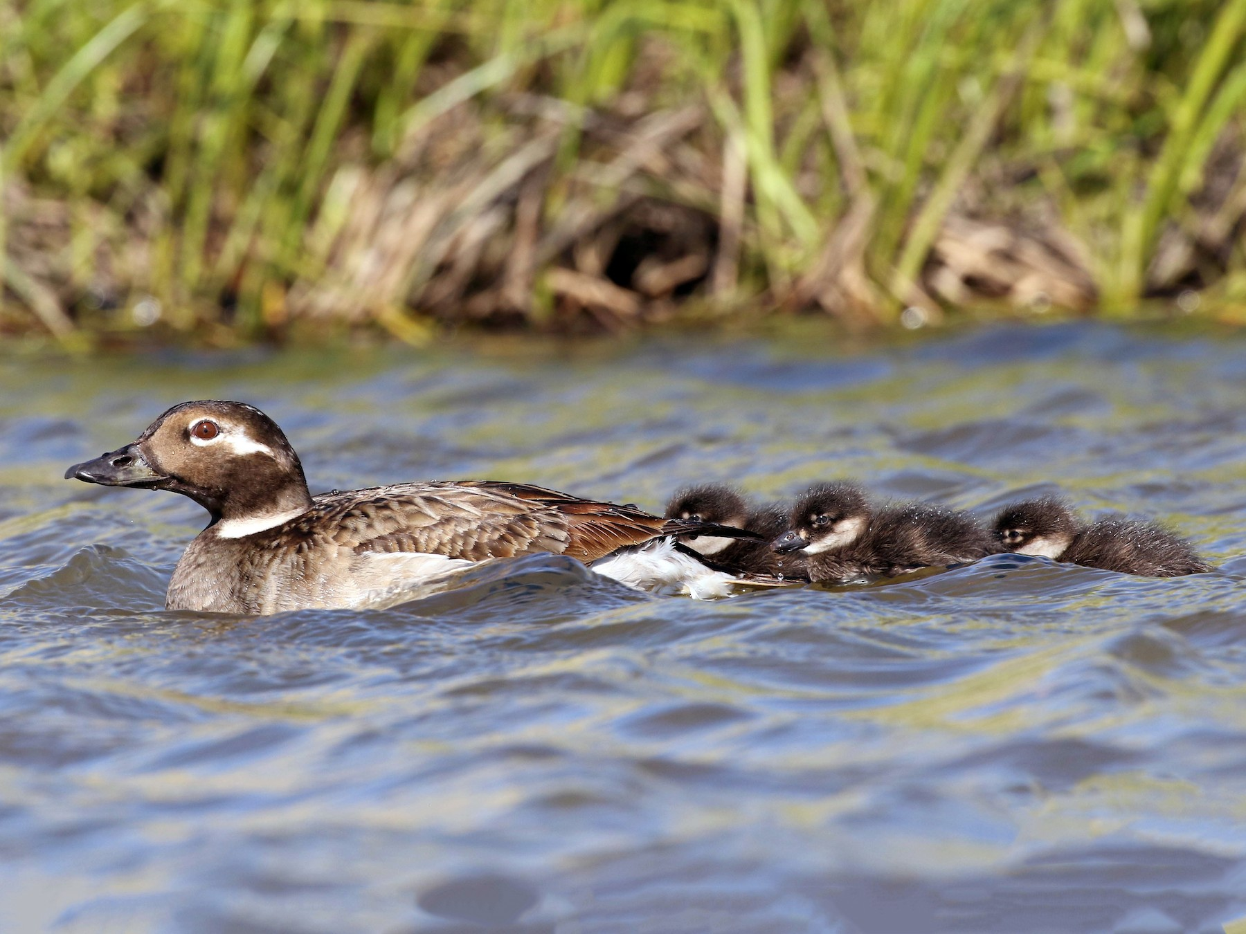 Long-tailed Duck - Anonymous eBirder