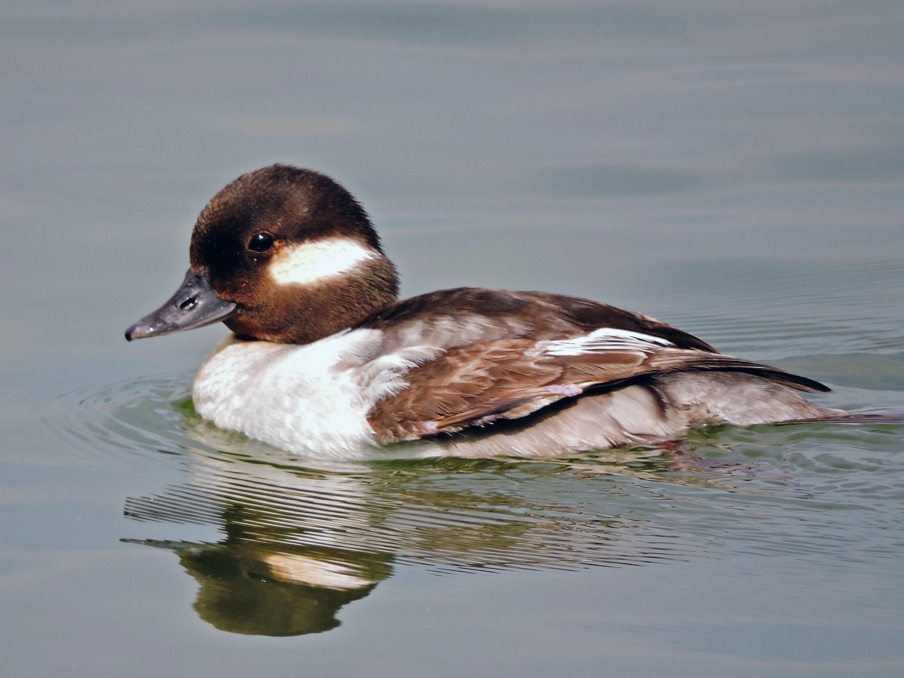 Bufflehead - S. K.  Jones