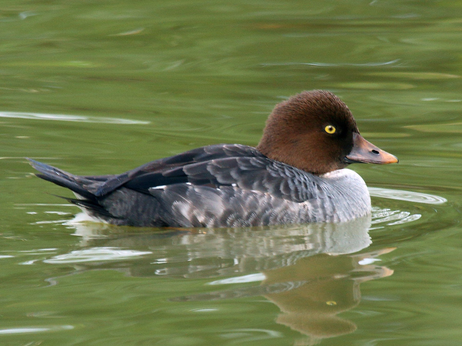 Common Goldeneye - Patrick J. Blake