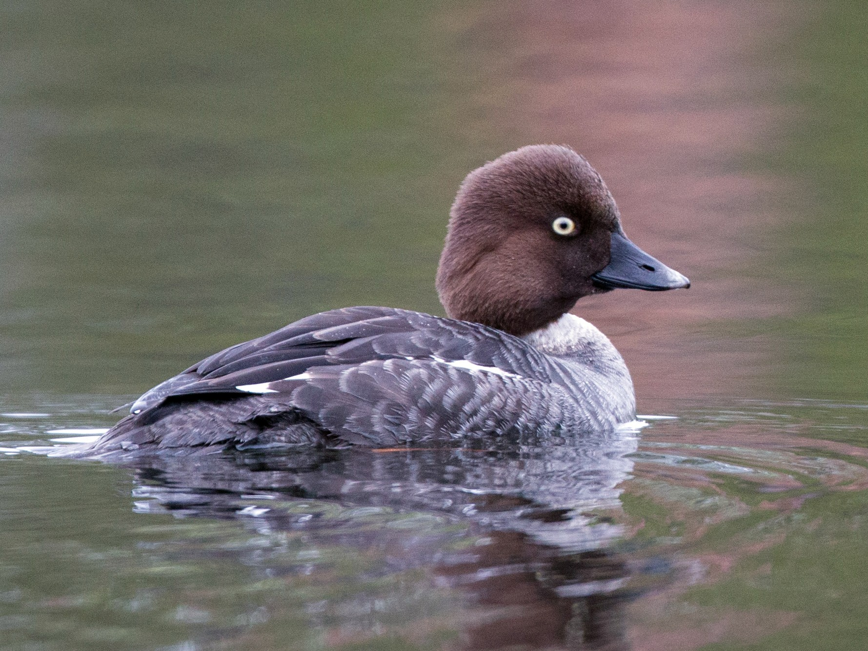 Common Goldeneye - Ian Davies